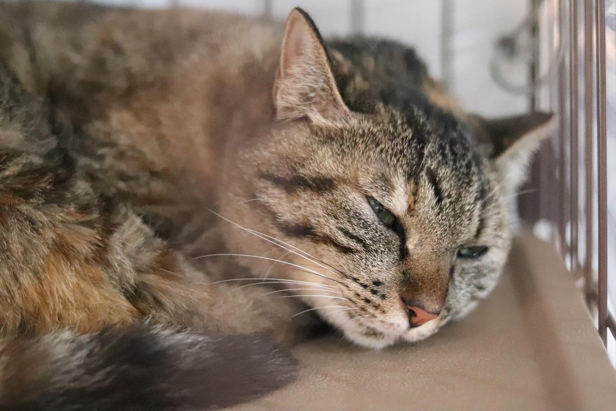 <ul> <li>猫種:日本猫</li> <li>性別:女の子</li> <li>名前:スピカ</li> <li>年齢:2017年1月10日頃生まれ</li> <li>保護経緯:家族にアレルギーが発症したため飼育困難になりました</li> </ul>