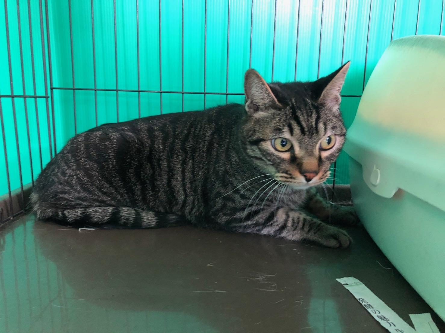 <ul> <li>猫種:日本猫</li> <li>性別:男の子</li> <li>名前:カイ</li> <li>年齢:2013年12月10日</li> <li>保護経緯:飼い主様が転勤のため飼育困難になり保護しました。</li> </ul>
