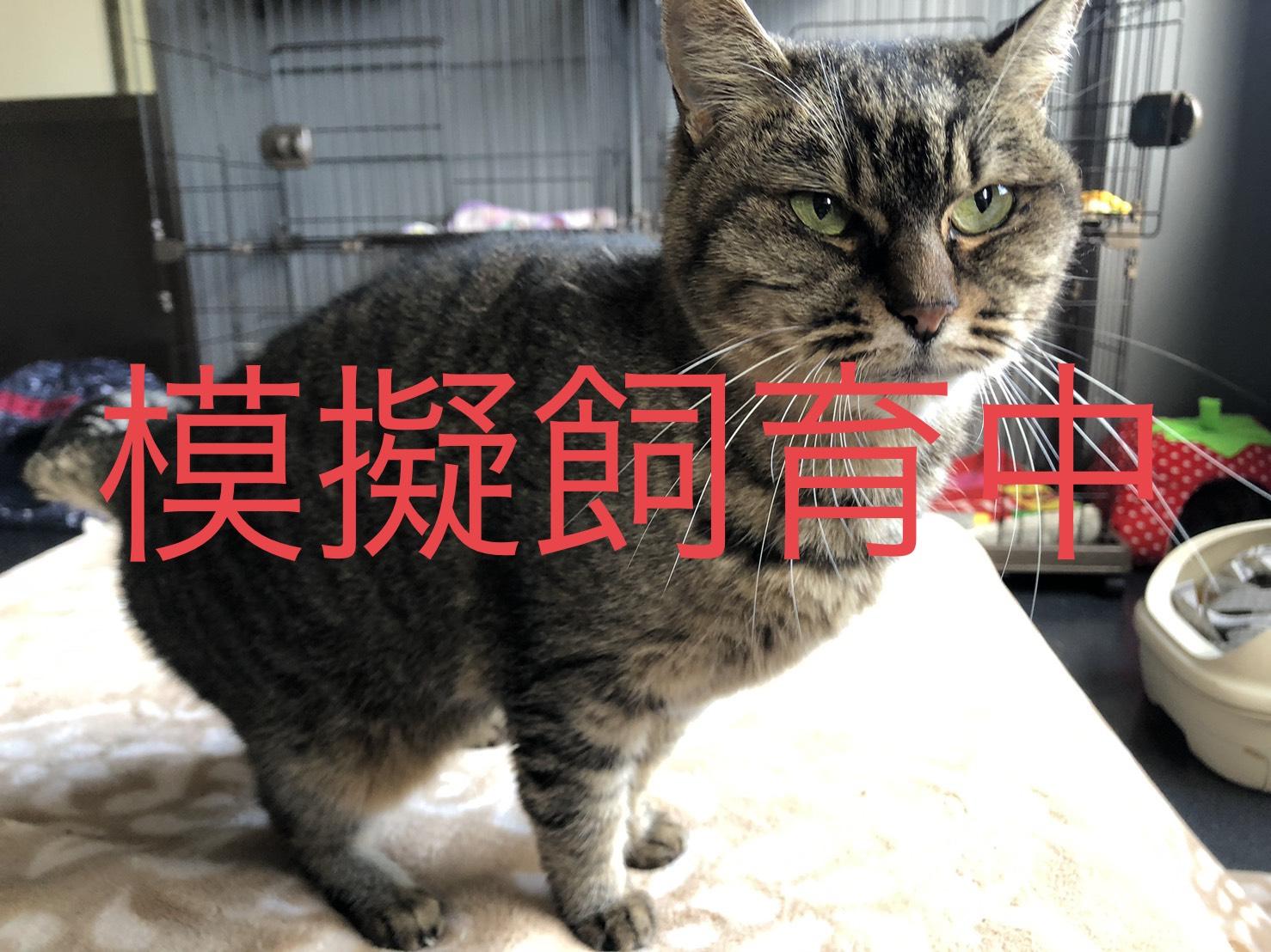 <ul> <li>猫種:日本猫 キジトラ</li> <li>性別:女の子</li> <li>名前:もも</li> <li>年齢:11歳</li> <li>保護経緯:飼い主様が亡くなられたため飼育困難になり引き取りました</li> </ul>