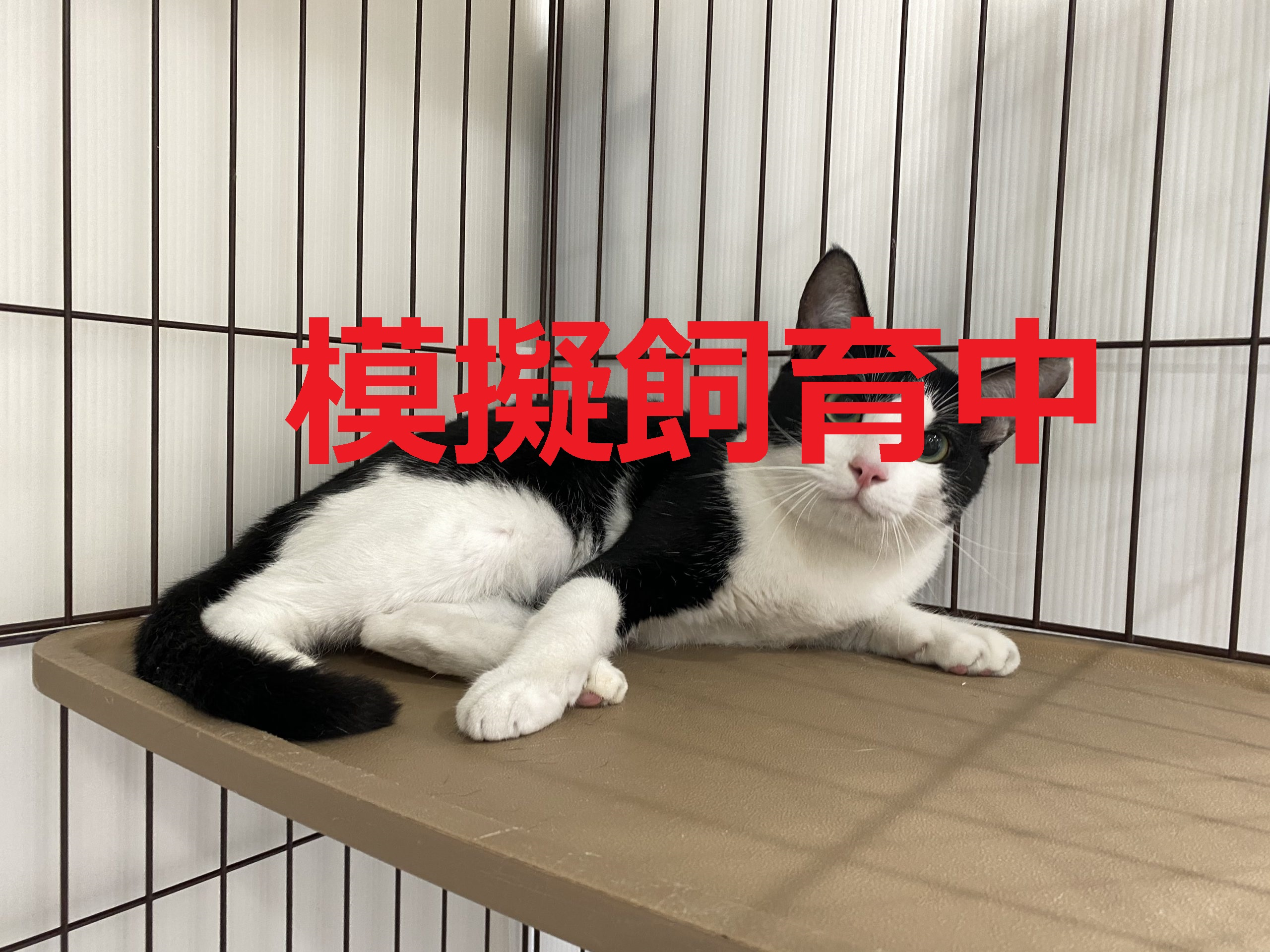<ul> <li>猫種:日本猫</li> <li>性別:男の子</li> <li>名前:モモ</li> <li>年齢:2019年2月10日頃生まれ</li> <li>保護経緯:飼い主が高齢で逝去したため、飼育困難になりました</li> </ul>