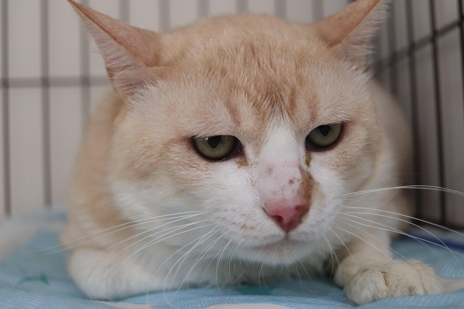 <ul> <li>猫種:日本猫(茶白)</li> <li>性別:男の子</li> <li>名前:コハク</li> <li>年齢:2013年7月10日頃生まれ</li> <li>保護経緯:飼い主が逝去したため、飼育困難になりました</li> </ul>