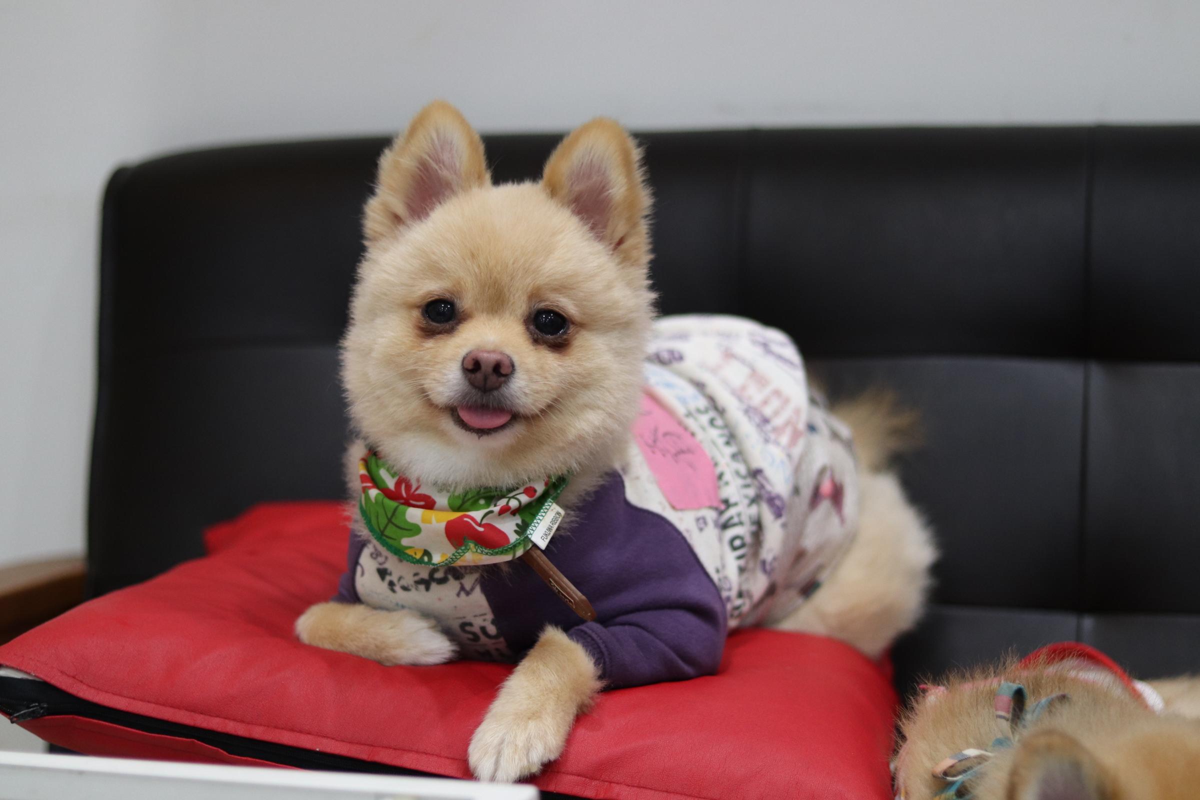 <ul> <li>犬種:ポメラニアン(クリーム)</li> <li>性別:男の子</li> <li>名前:春(ハル)</li> <li>年齢:2013年12月26日生まれ</li> <li>保護経緯:飼い主の出産のため飼育困難</li> </ul>