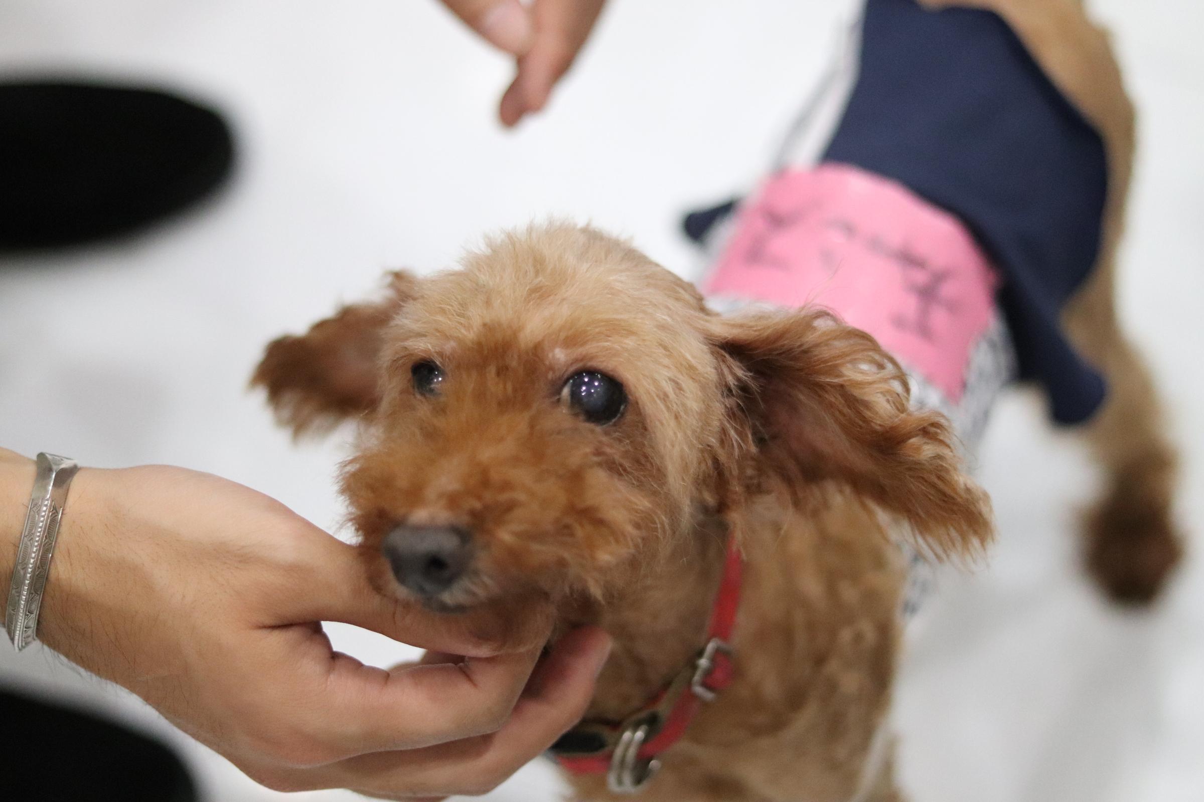 <ul> <li>犬種:トイプードル</li> <li>性別:女の子</li> <li>名前:チャンス</li> <li>年齢:2008年5月8日生まれ</li> <li>保護経緯:家族にアレルギーが発症したため飼育困難</li> </ul>