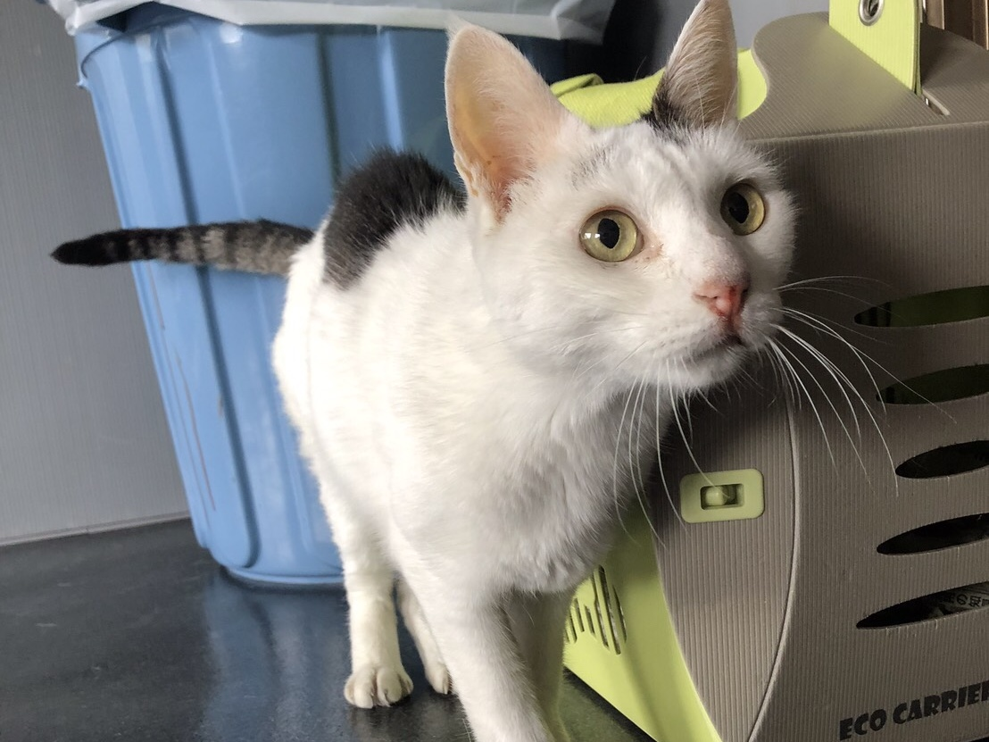 <ul> <li>猫種:日本猫</li> <li>性別:男の子</li> <li>名前:小豆</li> <li>年齢:2008年生まれ</li> <li>保護経緯:飼い主様が病気療養のため飼育困難になり引き取りました</li> </ul>