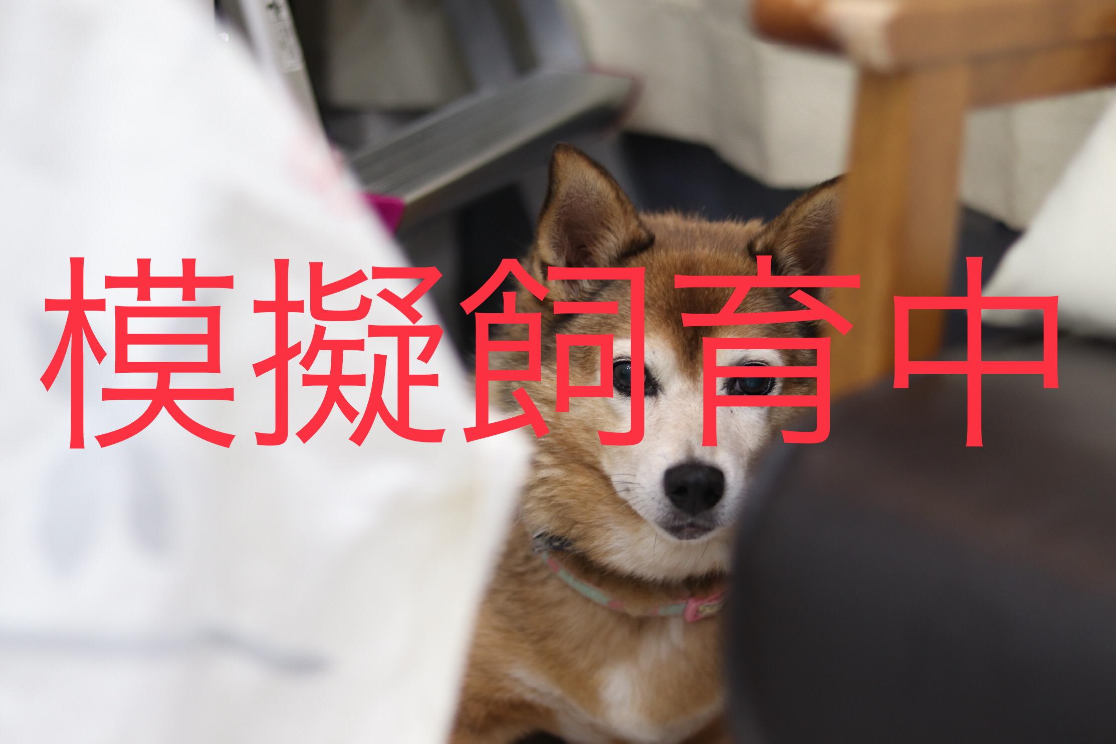 <ul> <li>犬種:雑種</li> <li>性別:女の子</li> <li>名前:チコ</li> <li>年齢:2008年11月生まれ</li> <li>保護経緯:飼い主が高齢になり病気療養のため飼育困難</li> </ul>