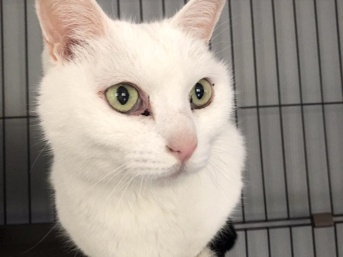 <ul> <li>猫種:日本猫</li> <li>性別:男の子</li> <li>名前:白玉</li> <li>年齢:2008年生まれ</li> <li>保護経緯:飼い主様が病気療養のため飼育困難になり引き取りました</li> </ul>