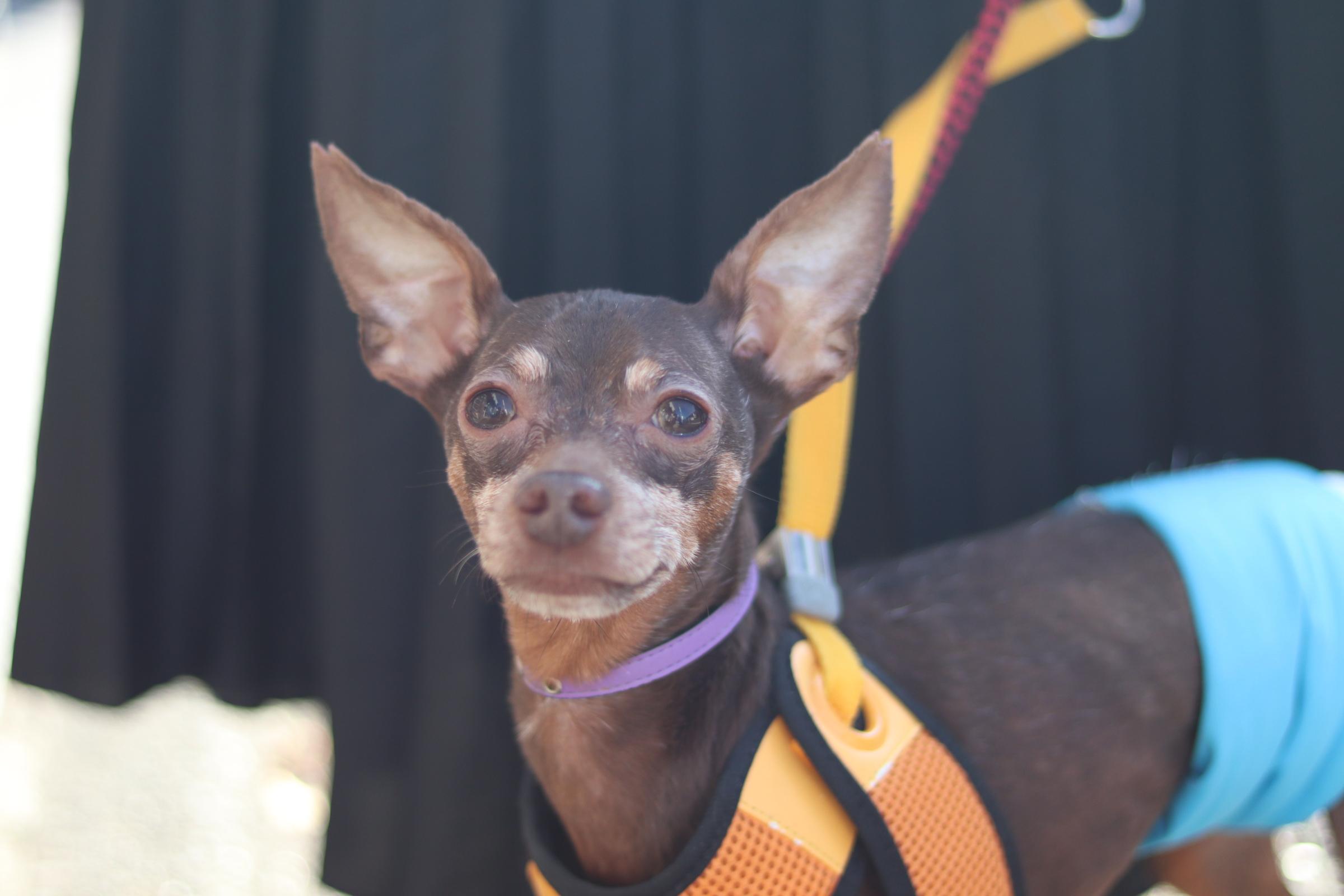 <ul> <li>犬種:ミニチュアピンシャー</li> <li>性別:男の子</li> <li>名前:こたろう</li> <li>年齢:2010年2月9日生まれ</li> <li>保護経緯:飼い主のライフスタイルの変化のため飼育困難</li> </ul>