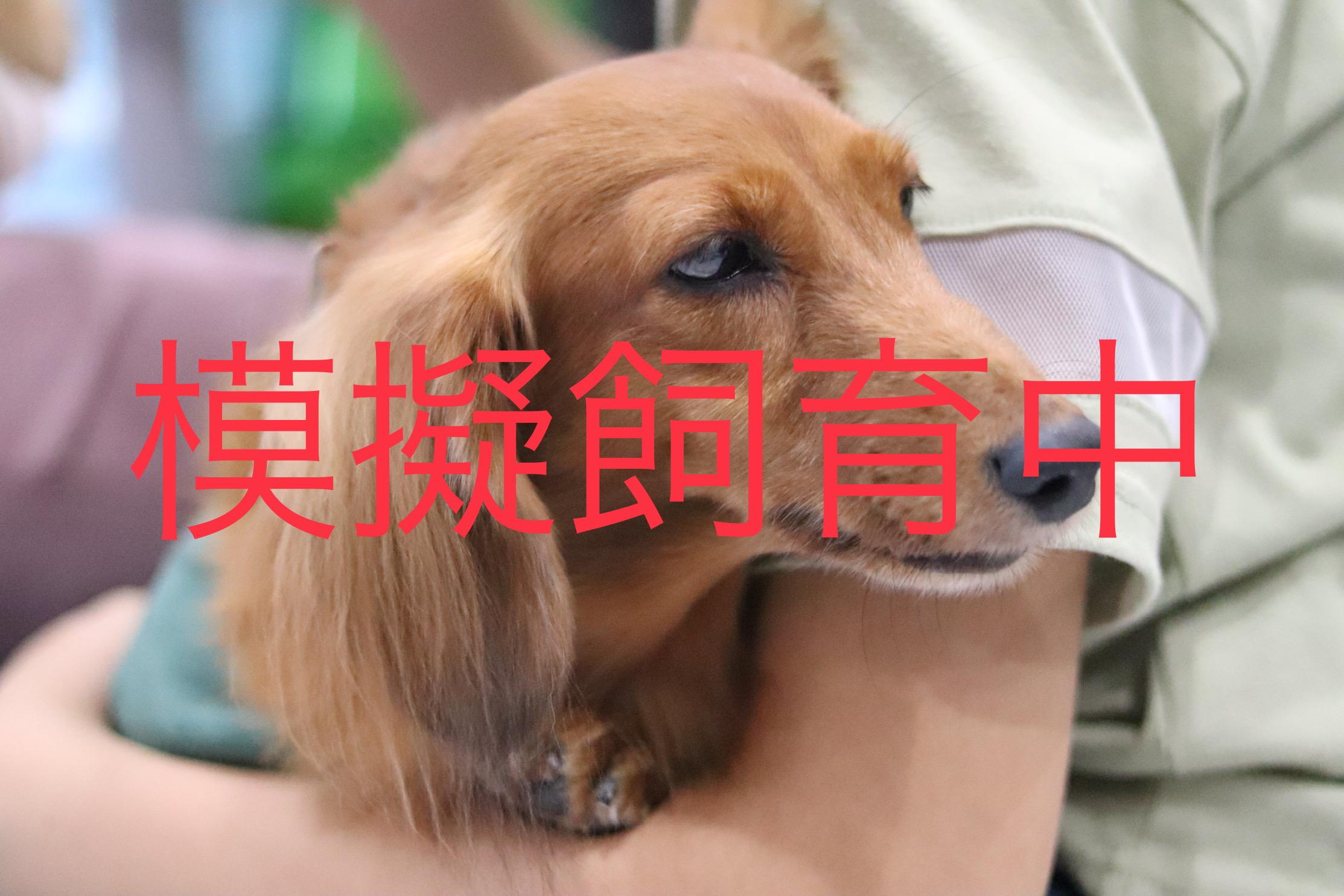 <ul> <li>犬種:ミニチュアダックスフンド</li> <li>性別:女の子</li> <li>名前:リボン</li> <li>年齢:2011年7月6日生まれ</li> <li>保護経緯:飼い主の生活環境の変化のため飼育困難</li> </ul>