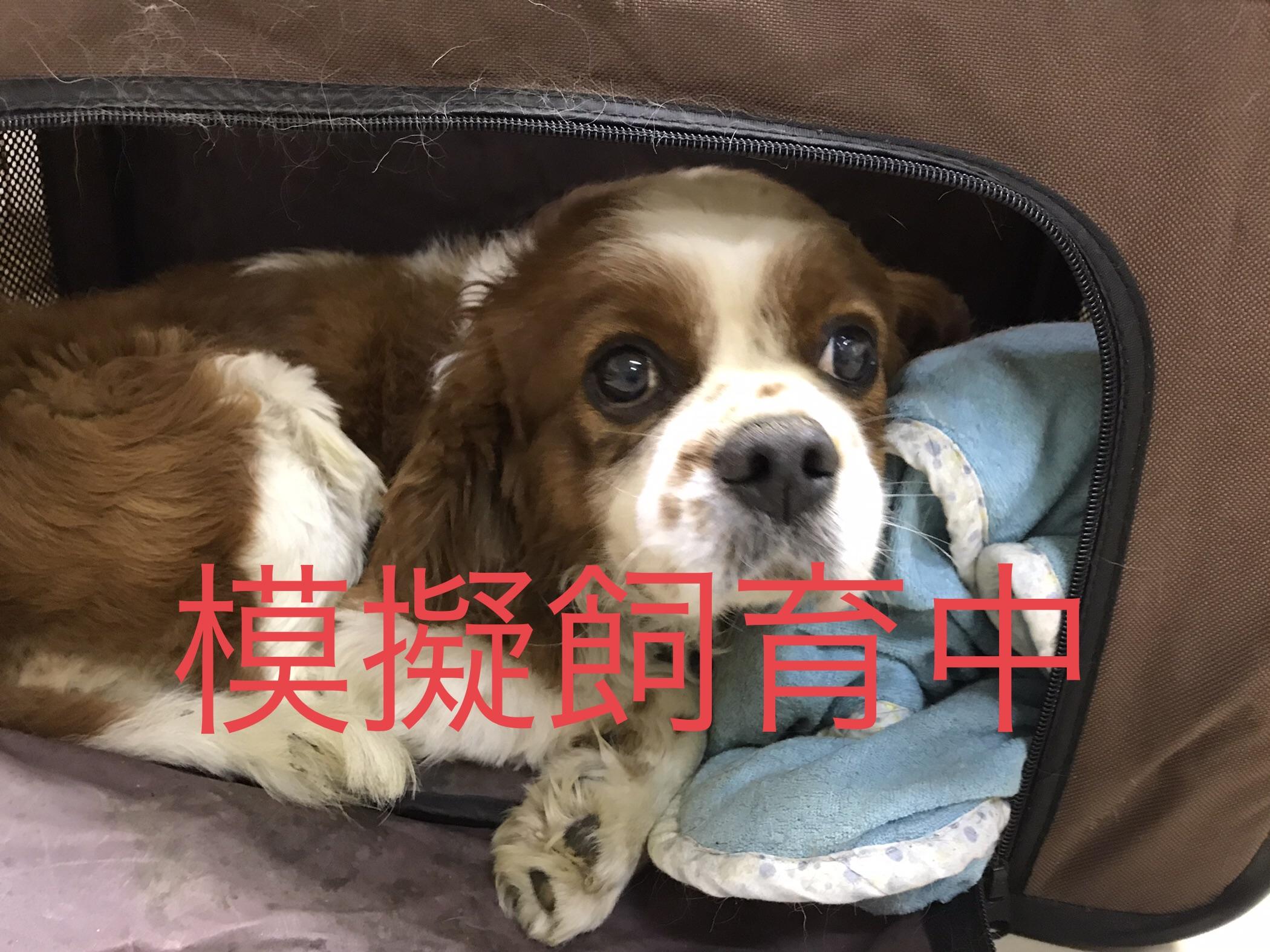<ul> <li>犬種:キャバリア</li> <li>性別:男の子</li> <li>名前:チップ</li> <li>年齢:2010年10月22日</li> <li>保護経緯:飼い主様が引越しのため飼育困難になりました</li> </ul>