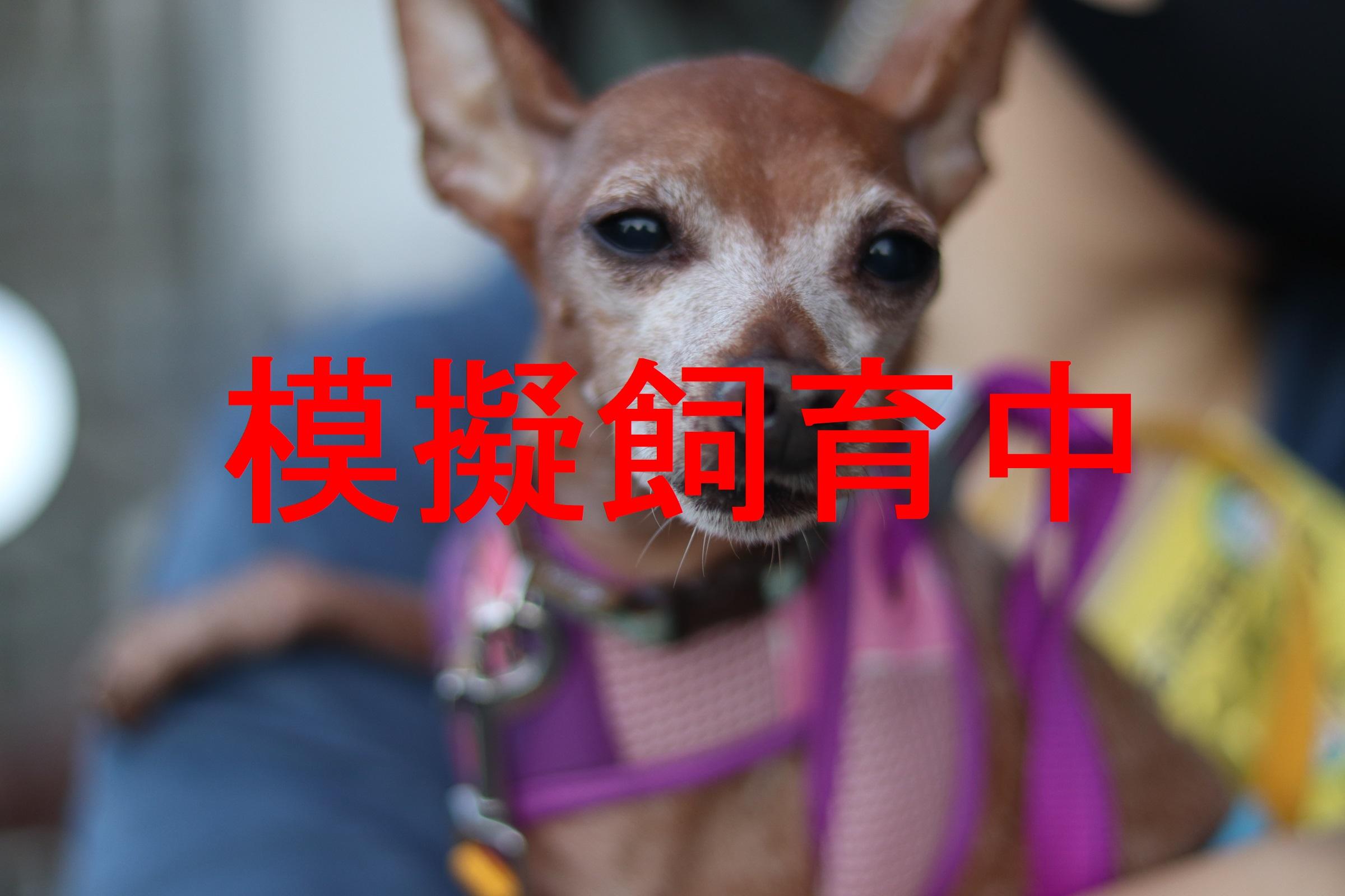 <ul> <li>犬種:ミニチュアピンシャー</li> <li>性別:男の子</li> <li>名前:こじろう</li> <li>年齢:2010年4月26日生まれ</li> <li>保護経緯:飼い主のライフスタイルの変化のため飼育困難</li> </ul>