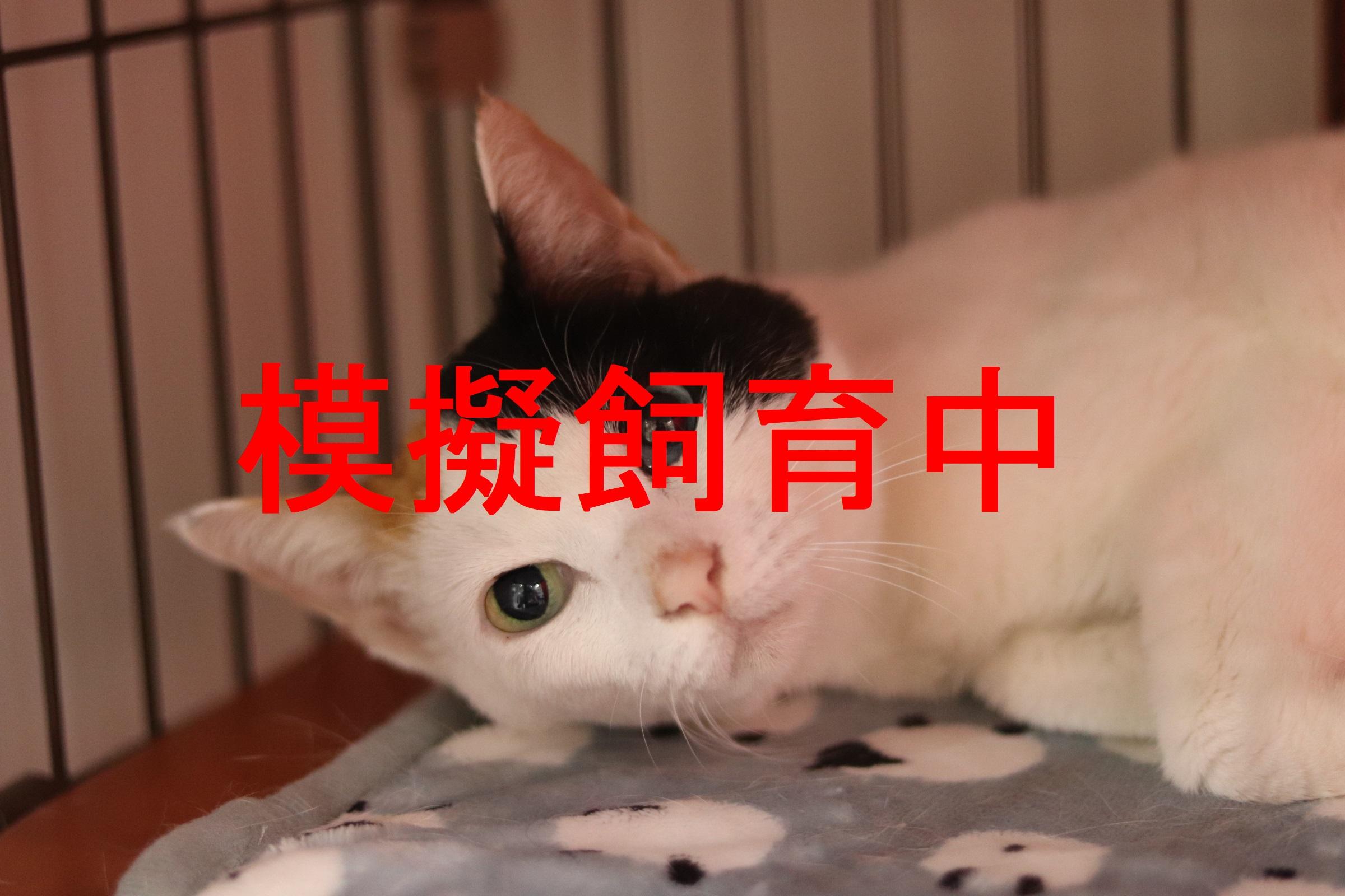 <ul> <li>猫種:日本猫(三毛)</li> <li>性別:女の子</li> <li>名前:チビ</li> <li>年齢:2008年8月頃生まれ</li> <li>保護経緯:飼育禁止の住居で飼っており飼育困難</li> </ul>