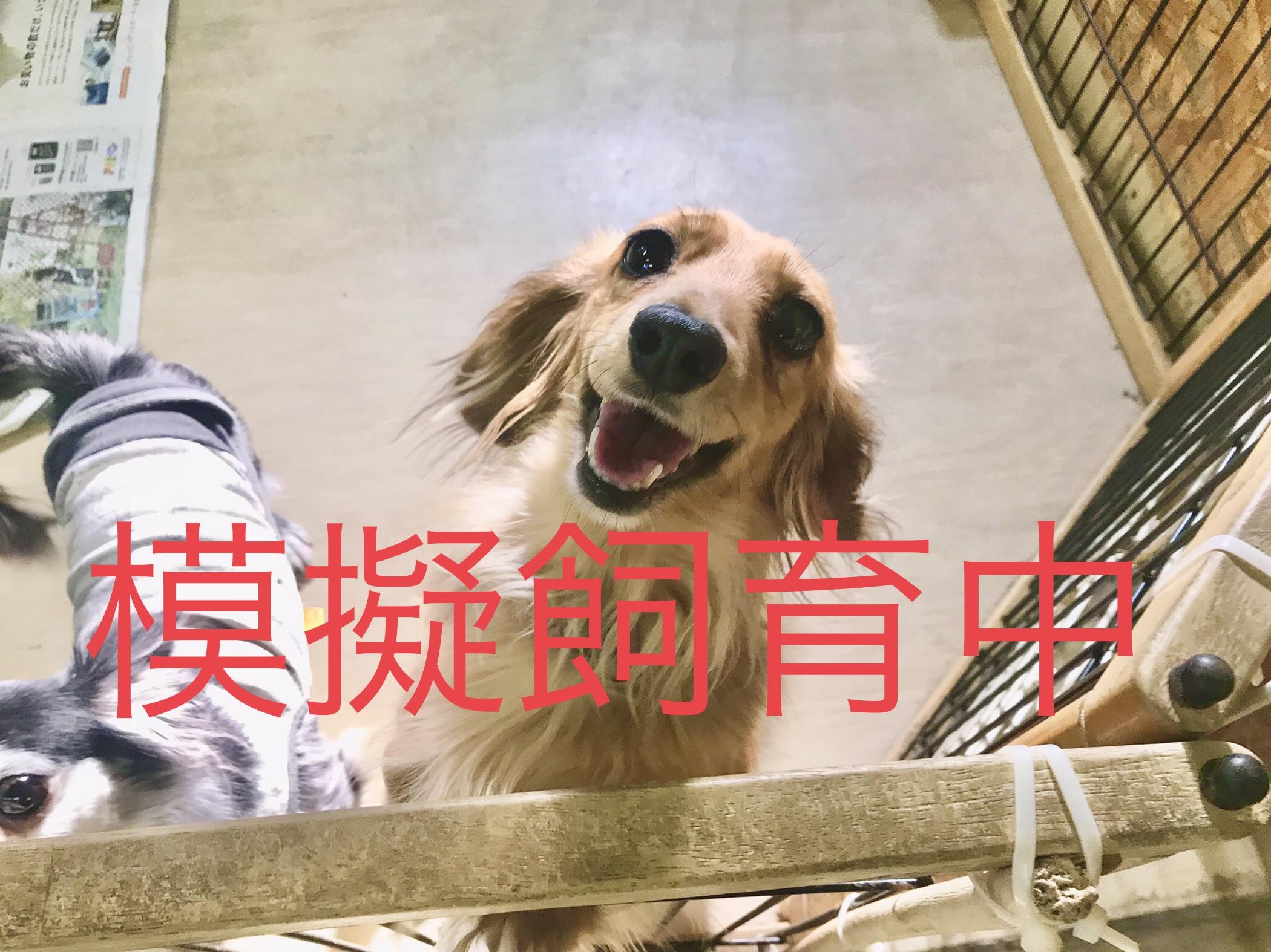 <ul> <li>犬種:ミニチュアダックス</li> <li>性別:女の子</li> <li>名前:みゅー</li> <li>年齢:2015年6月</li> <li>保護経緯:飼い主様が病気療養のため飼育困難になり引き取りました</li> </ul>