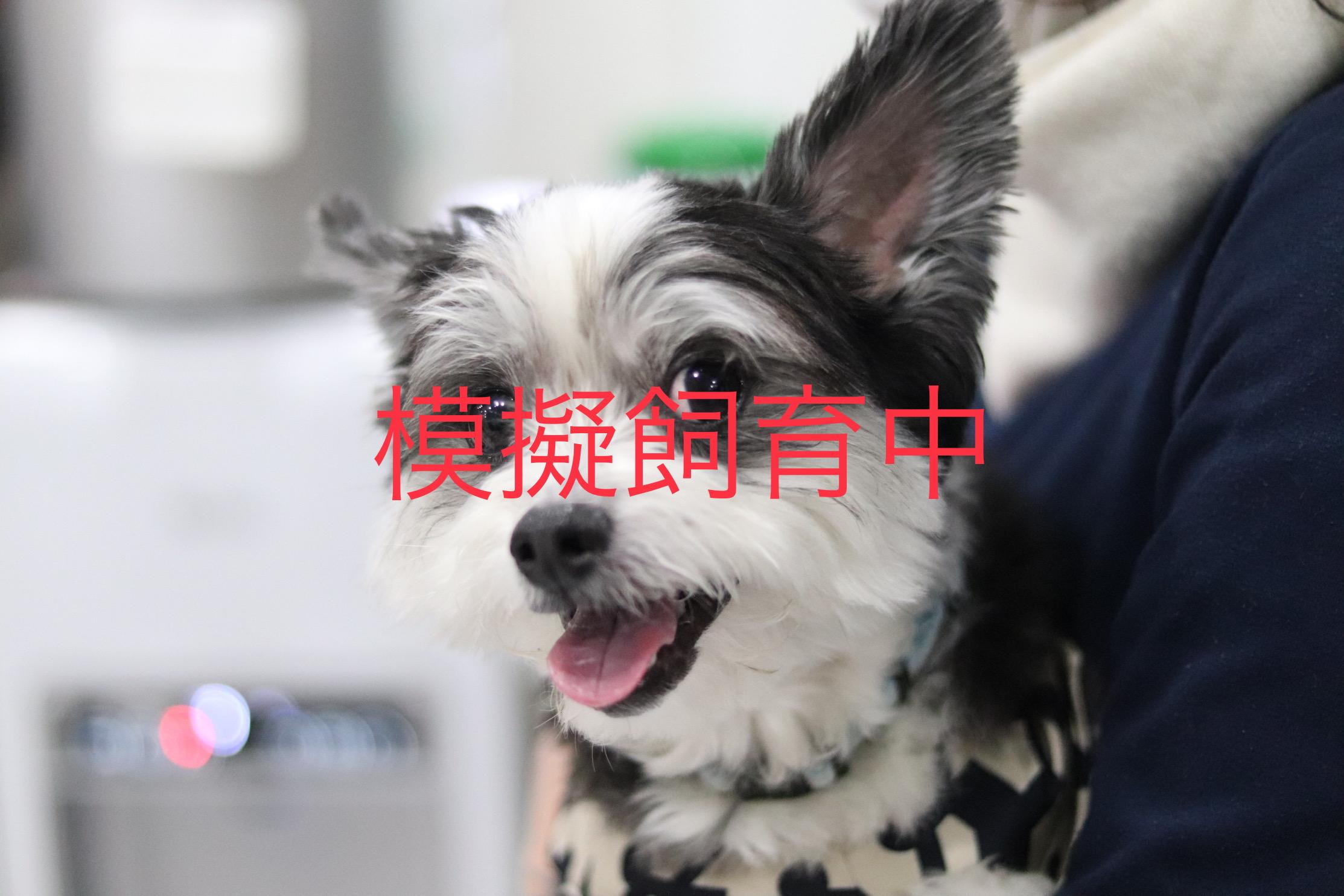 <ul> <li>犬種:マルチーズ×チワワMIX犬</li> <li>性別:男の子</li> <li>名前:らんまる</li> <li>年齢:2015年1月14日生まれ</li> <li>保護経緯:飼い主が急逝され飼育困難</li> </ul>