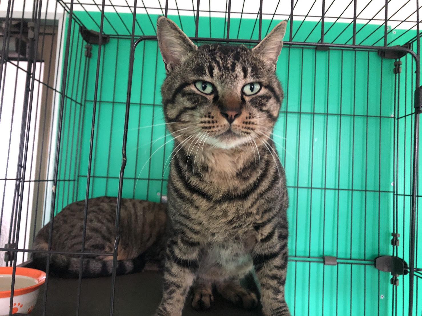 <ul> <li>猫種:日本猫 キジトラ</li> <li>性別:男の子</li> <li>名前:おっとり</li> <li>年齢:2017年7月17日</li> <li>保護経緯:飼い主様が高齢で、引越しするため飼育困難になり引き取りました</li> </ul>