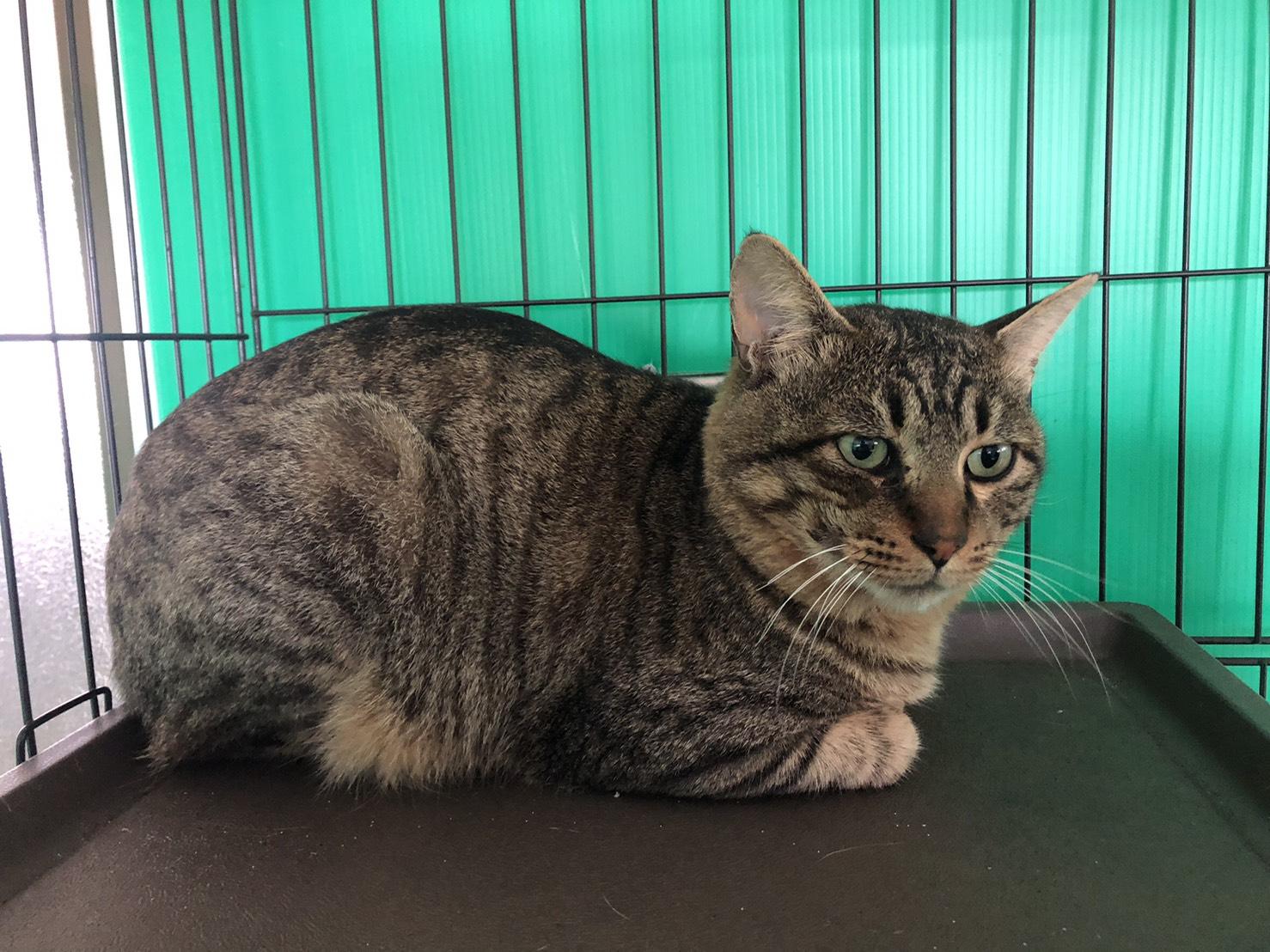 <ul> <li>猫種:日本猫 キジトラ</li> <li>性別:男の子</li> <li>名前:ニコ</li> <li>年齢:2017年7月17日</li> <li>保護経緯:飼い主様が高齢で、引越しするため飼育困難になり引き取りました</li> </ul>