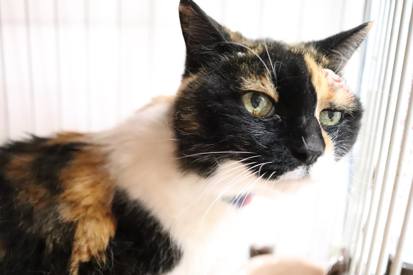 <ul> <li>猫種:日本猫(三毛)</li> <li>性別:女の子</li> <li>名前:メイ</li> <li>年齢:2004年頃生まれ</li> <li>保護経緯:高齢の飼い主が逝去し、親族も引き継ぐことが出来ず飼育困難</li> </ul>