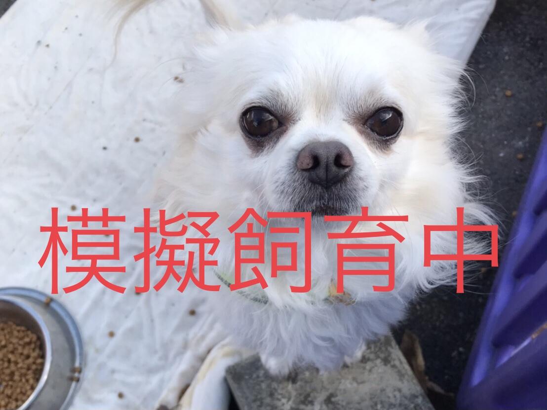 <ul> <li>犬種:ロングチワワ</li> <li>性別:男の子</li> <li>名前:サリー</li> <li>年齢:2015年7月30日</li> <li>保護経緯:お子さんがアレルギーのため飼育困難になり引き取りました</li> </ul>