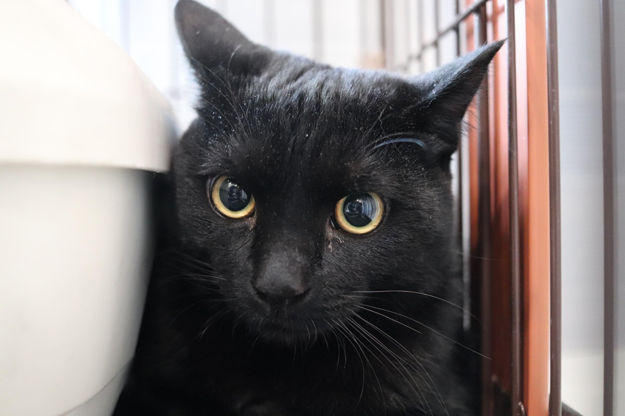 <ul> <li>猫種:日本猫</li> <li>性別:男の子</li> <li>名前:はっちゃん</li> <li>年齢:2020年8月頃生まれ</li> <li>保護経緯:飼い主が高齢になり入院したため飼育困難 </li> </ul>