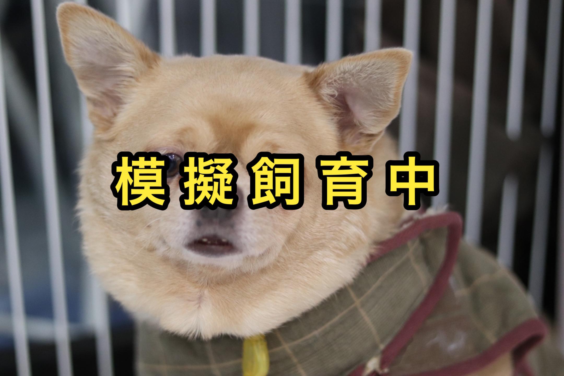 <ul> <li>犬種:スムースチワワ</li> <li>性別:男の子</li> <li>名前:あらし</li> <li>年齢:2014年頃生まれ</li> <li>保護経緯:飼い主が急逝され、親族も引き継いで飼えないため飼育困難</li> </ul>
