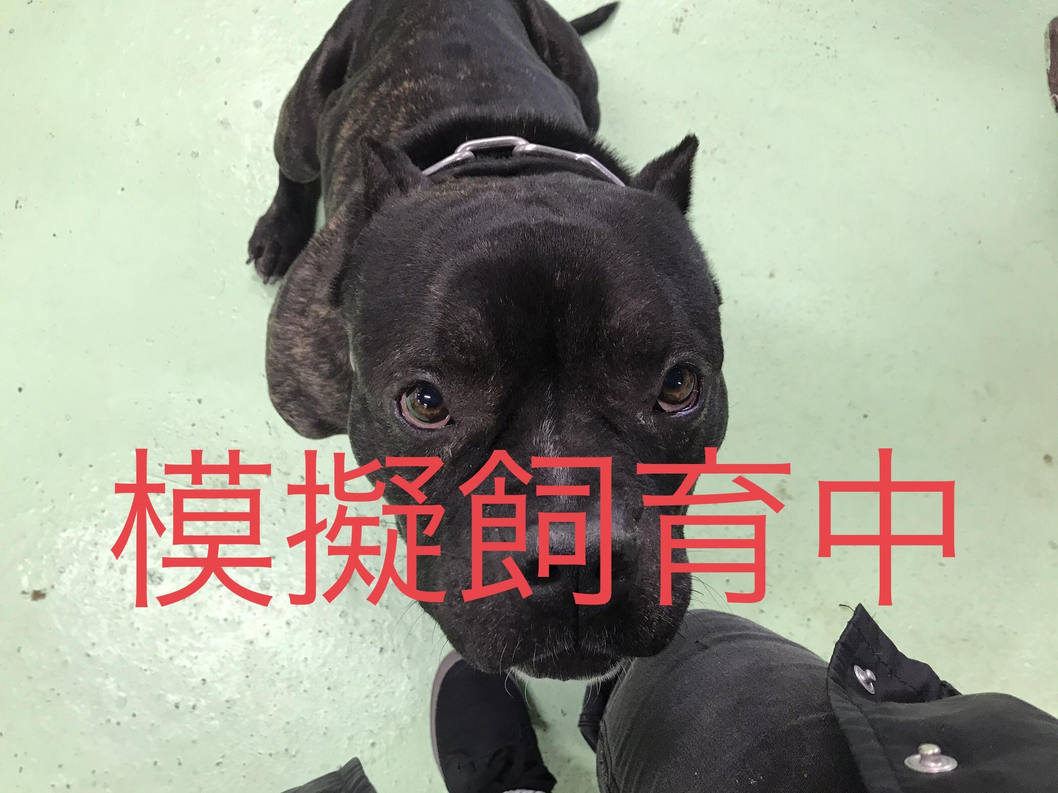 <ul> <li>犬種:アメリカンピットブル</li> <li>性別:男の子</li> <li>名前:キング</li> <li>年齢:2016年1月</li> <li>保護経緯:近所からのクレームがあったため飼育困難になり引き取りました</li> </ul>
