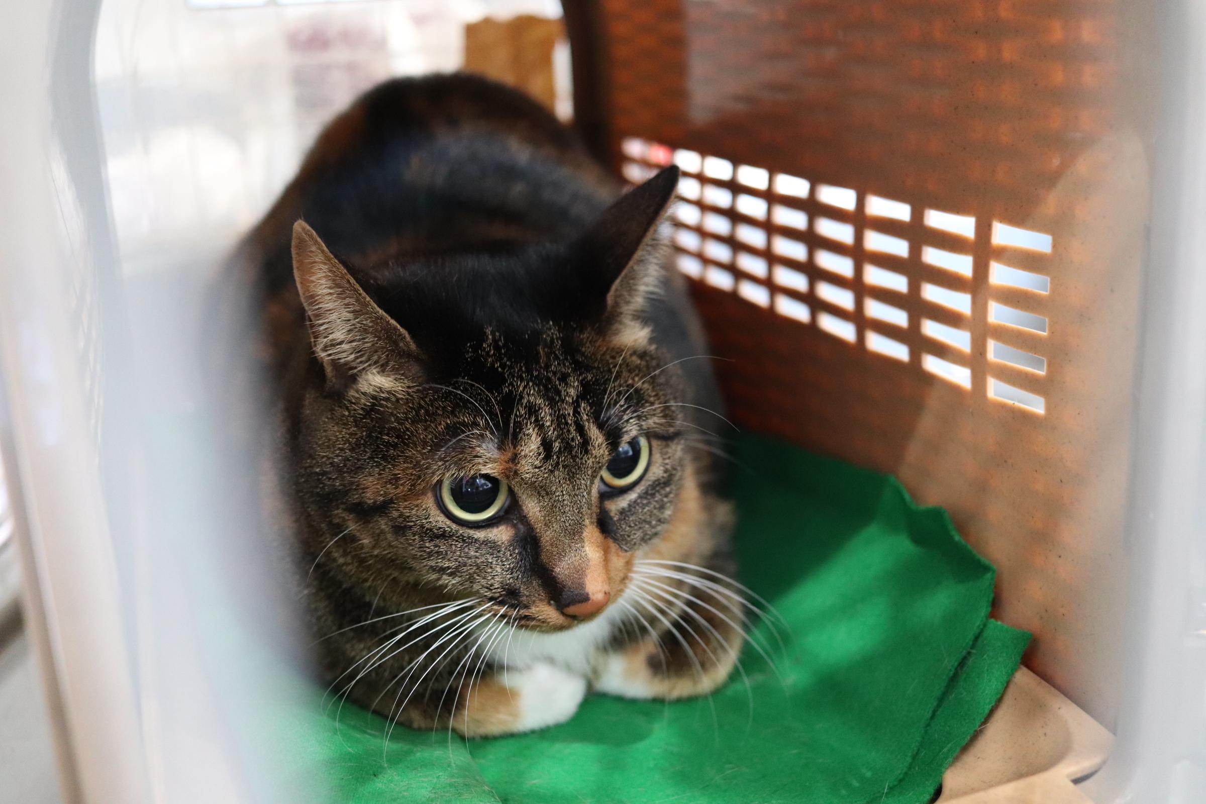 <ul> <li>猫種:日本猫</li> <li>性別:女の子</li> <li>名前:チビ</li> <li>年齢:2016年生まれ</li> <li>保護経緯:飼い主が高齢になり入院したため飼育困難 </li> </ul>