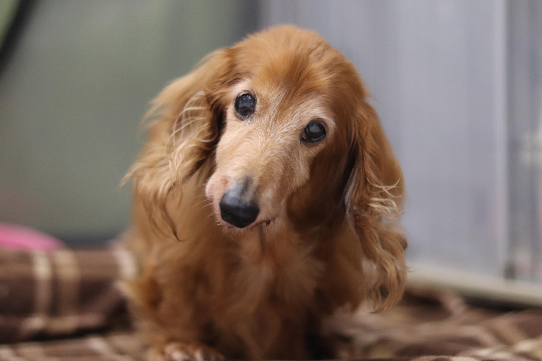 <ul> <li>犬種:ミニチュアダックスフンド</li> <li>性別:女の子</li> <li>名前:メイ</li> <li>年齢:2005年5月2日生まれ</li> <li>保護経緯:飼い主が高齢になり亡くなられたため飼育困難</li> </ul>