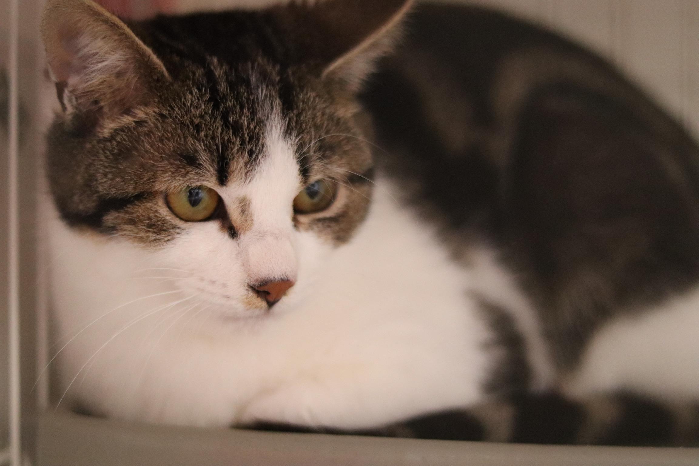 <ul> <li>猫種:日本猫</li> <li>性別:男の子</li> <li>名前:こつぶ</li> <li>年齢:2020年6月頃生まれ</li> <li>保護経緯:飼い主に猫アレルギーが発症し、また転勤のため飼育困難</li> </ul>
