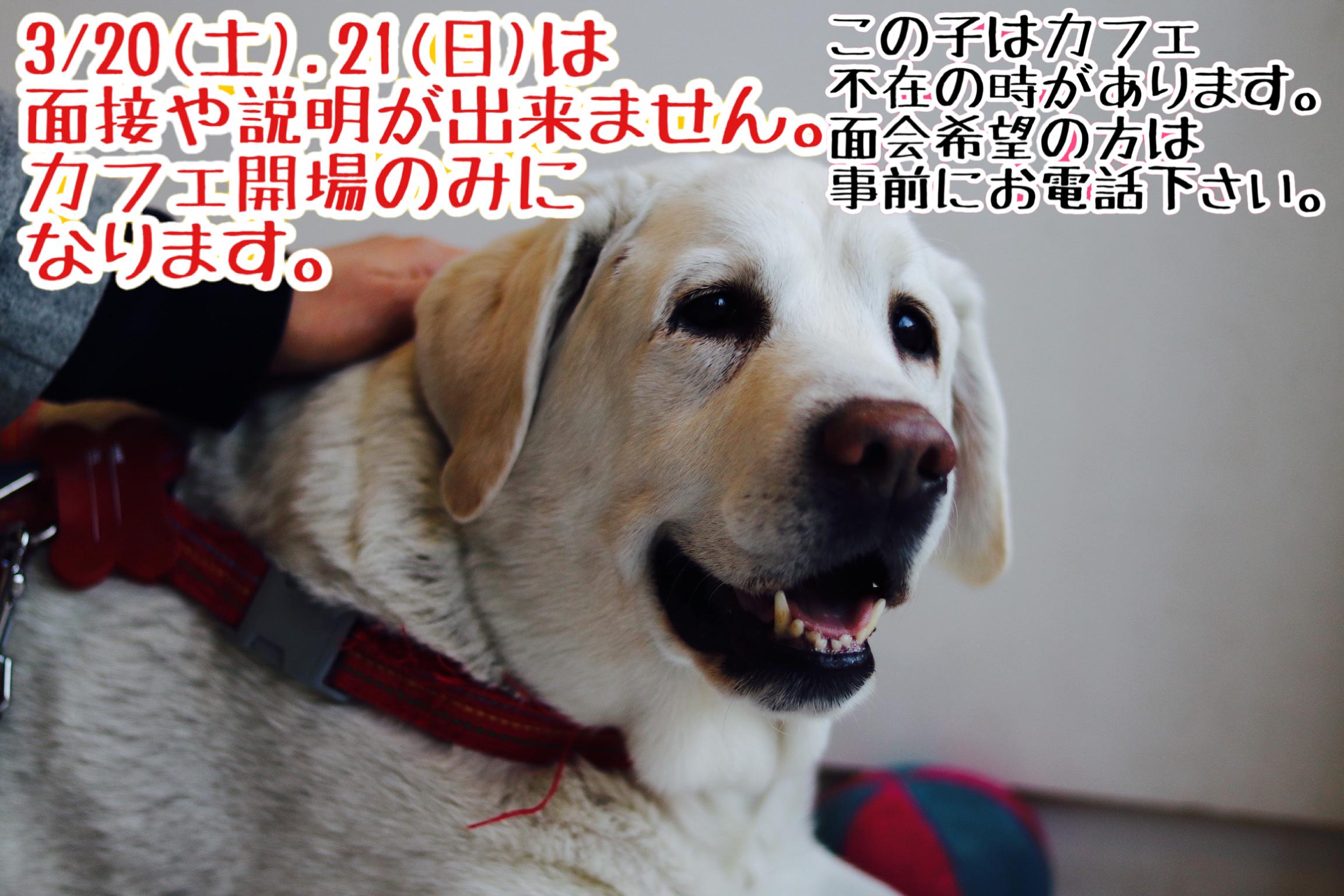 <ul> <li>犬種:ラブラドールレトリバー 性別:女の子 名前:シェリー 年齢:2010年春頃生まれ 保護経緯:飼い主が高齢になり病気療養のため飼育困難</li> </ul>