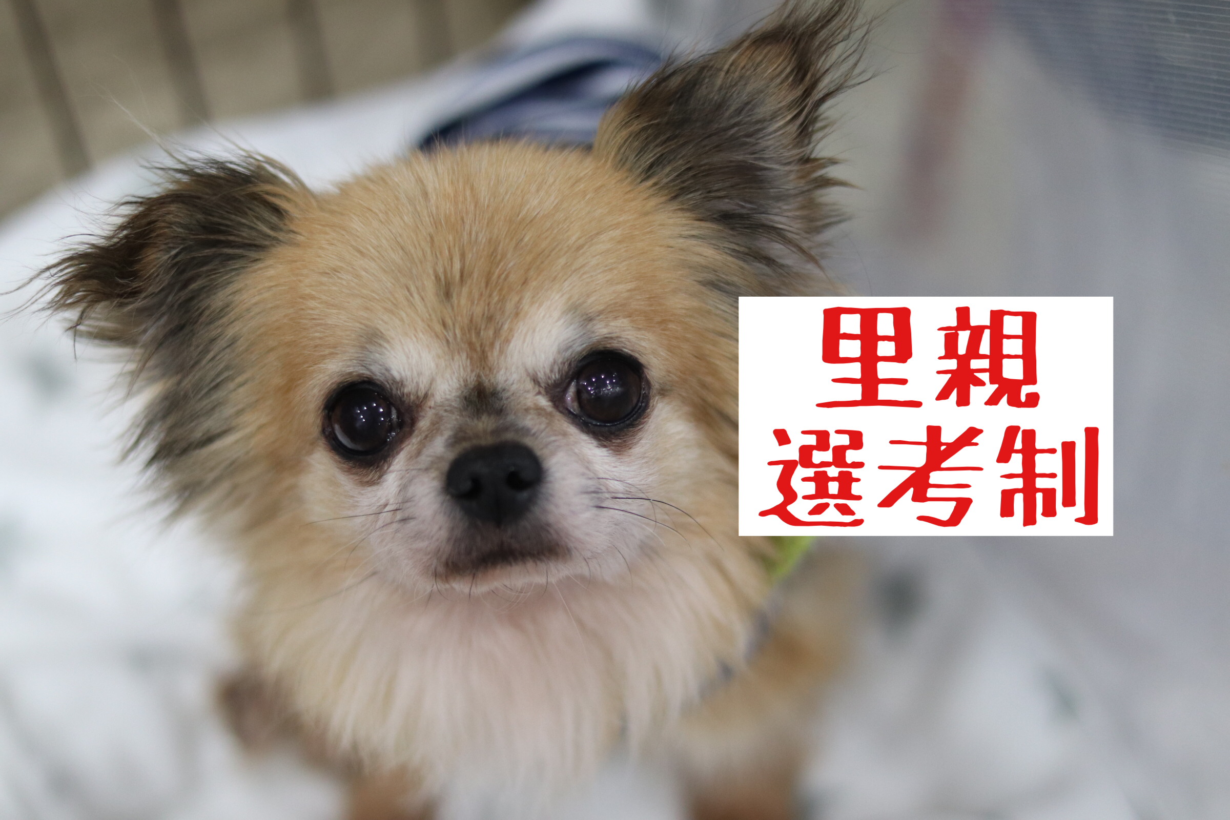 <ul> <li>犬種:チワワ×ポメラニアンMIX</li> <li>性別:男の子</li> <li>名前:ロミオ</li> <li>年齢:2012年生まれ</li> <li>保護経緯:転勤のため飼育困難</li> </ul>