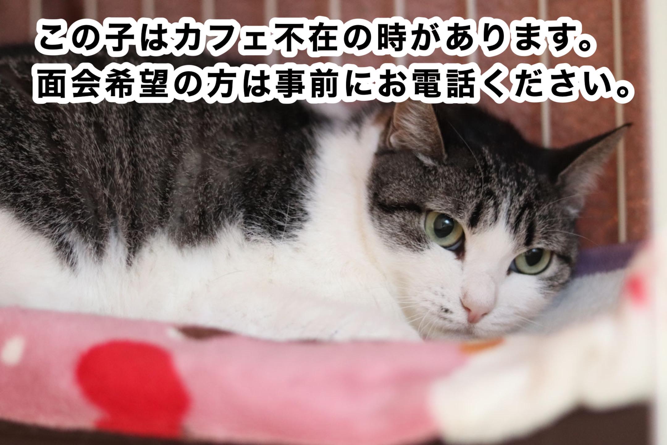 <ul> <li>猫種:日本猫 性別:女の子 名前:ジル 年齢:2016年頃生まれ 保護経緯:飼い主が高齢になり施設へ入居し、親族も引き継いで飼うことが出来ない</li> </ul>