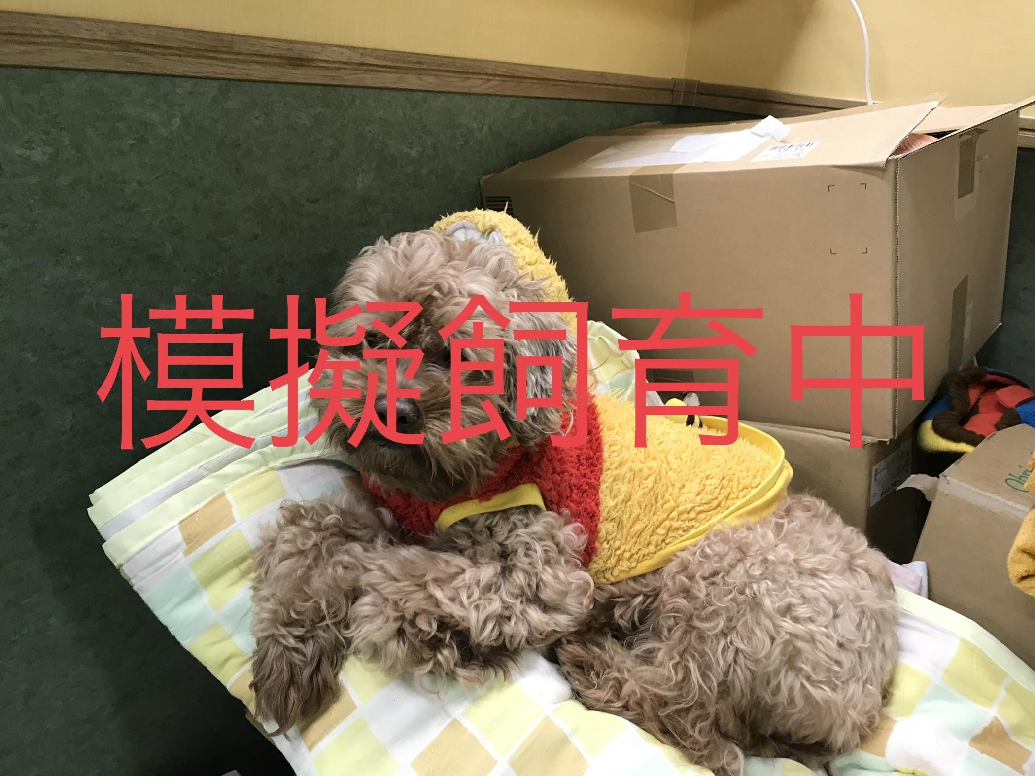 <ul> <li>犬種:プードル×キャバリア</li> <li>性別:男の子</li> <li>名前:レオ</li> <li>年齢:2013年6月26日</li> <li>保護経緯:家族の方がアレルギーのため飼育困難になり引き取りました</li> </ul>