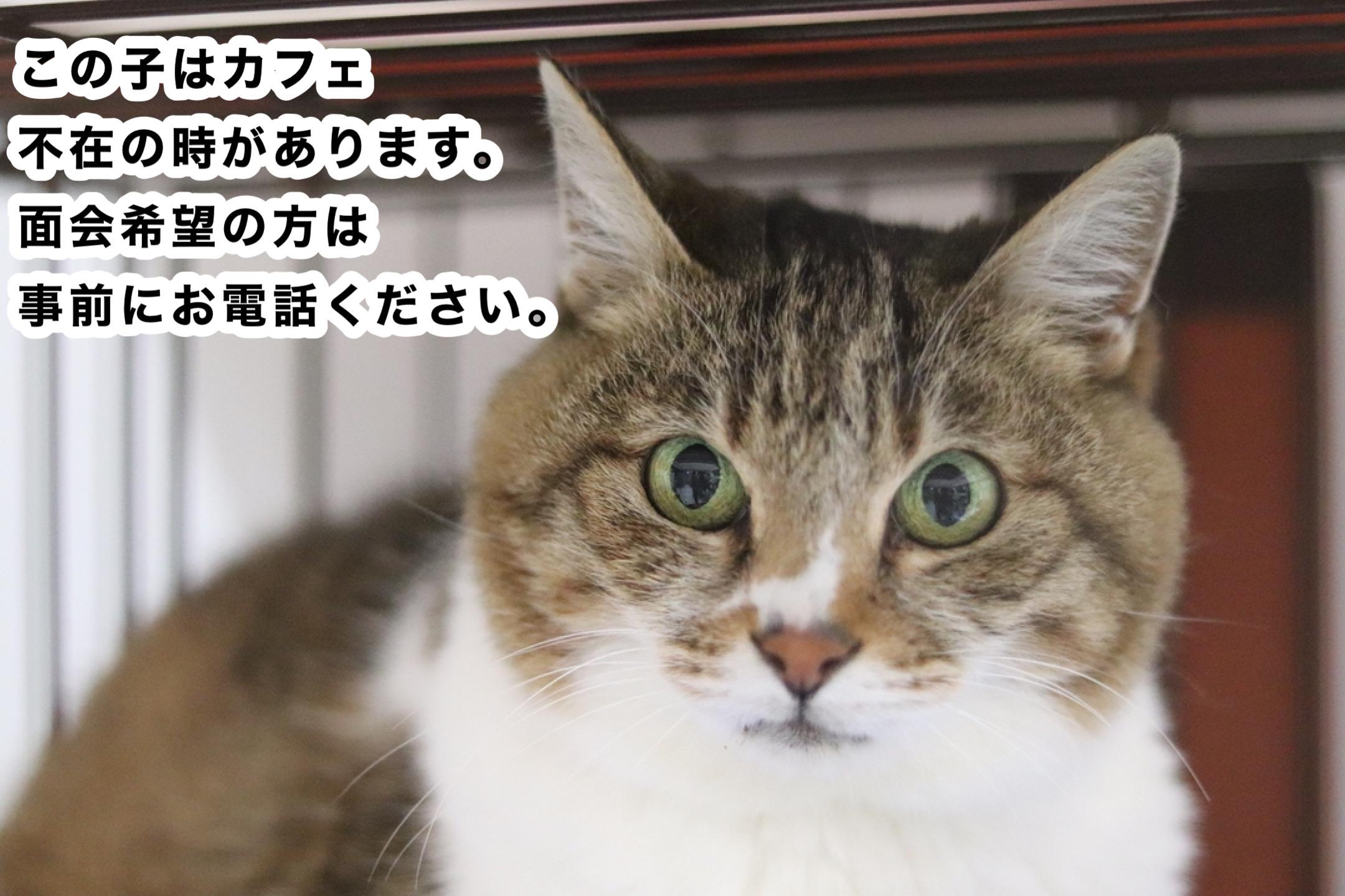 <ul> <li>猫種:日本猫 性別:女の子 名前:ミー 年齢:2015年秋頃生まれ 保護経緯:親族が高齢になり病気療養のため飼育困難</li> </ul>