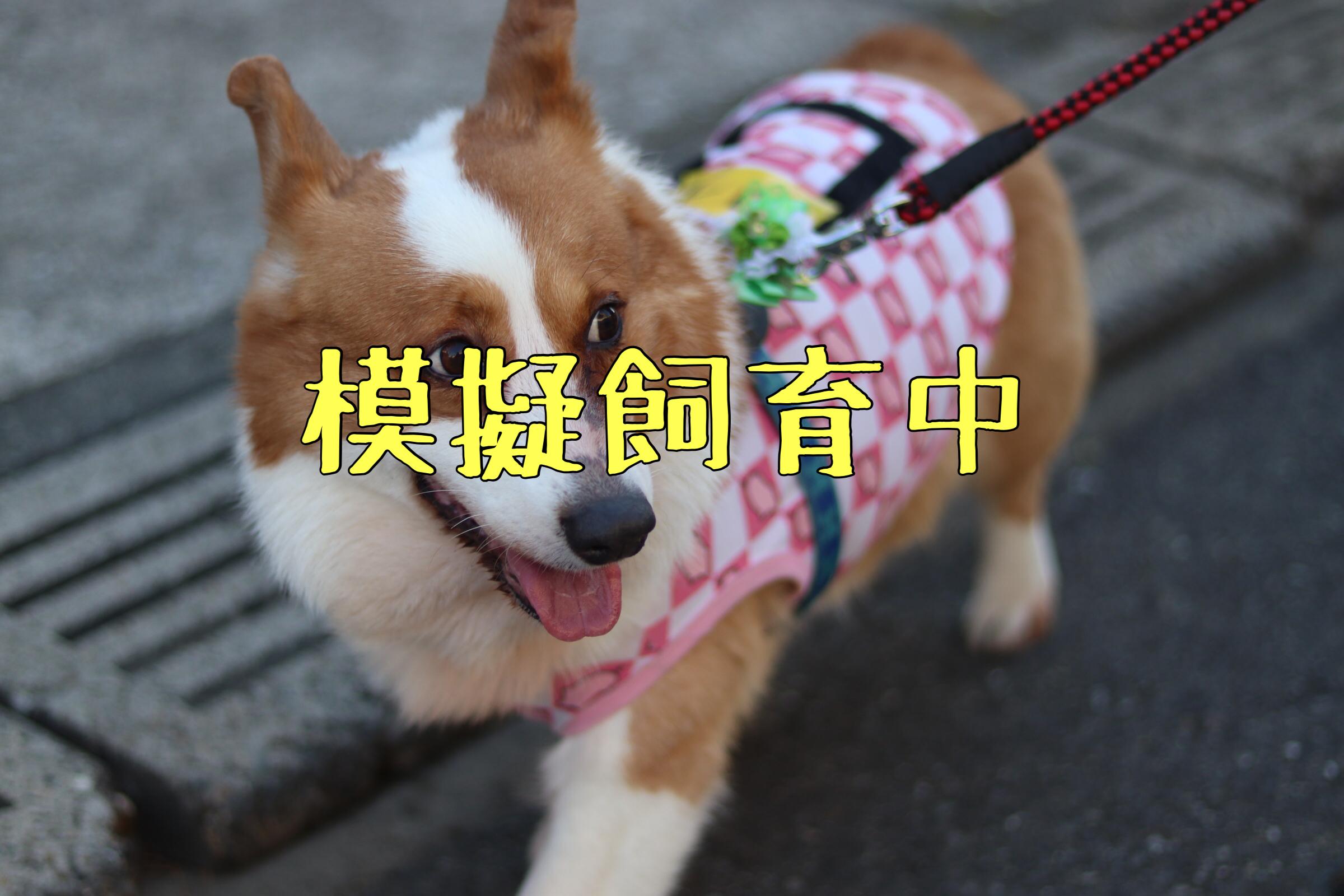 <ul> <li>犬種:ウェルシュコーギー</li> <li>性別:男の子</li> <li>名前:カイ</li> <li>年齢:2010年生まれ</li> <li>保護経緯:離婚のため飼育困難</li> </ul>
