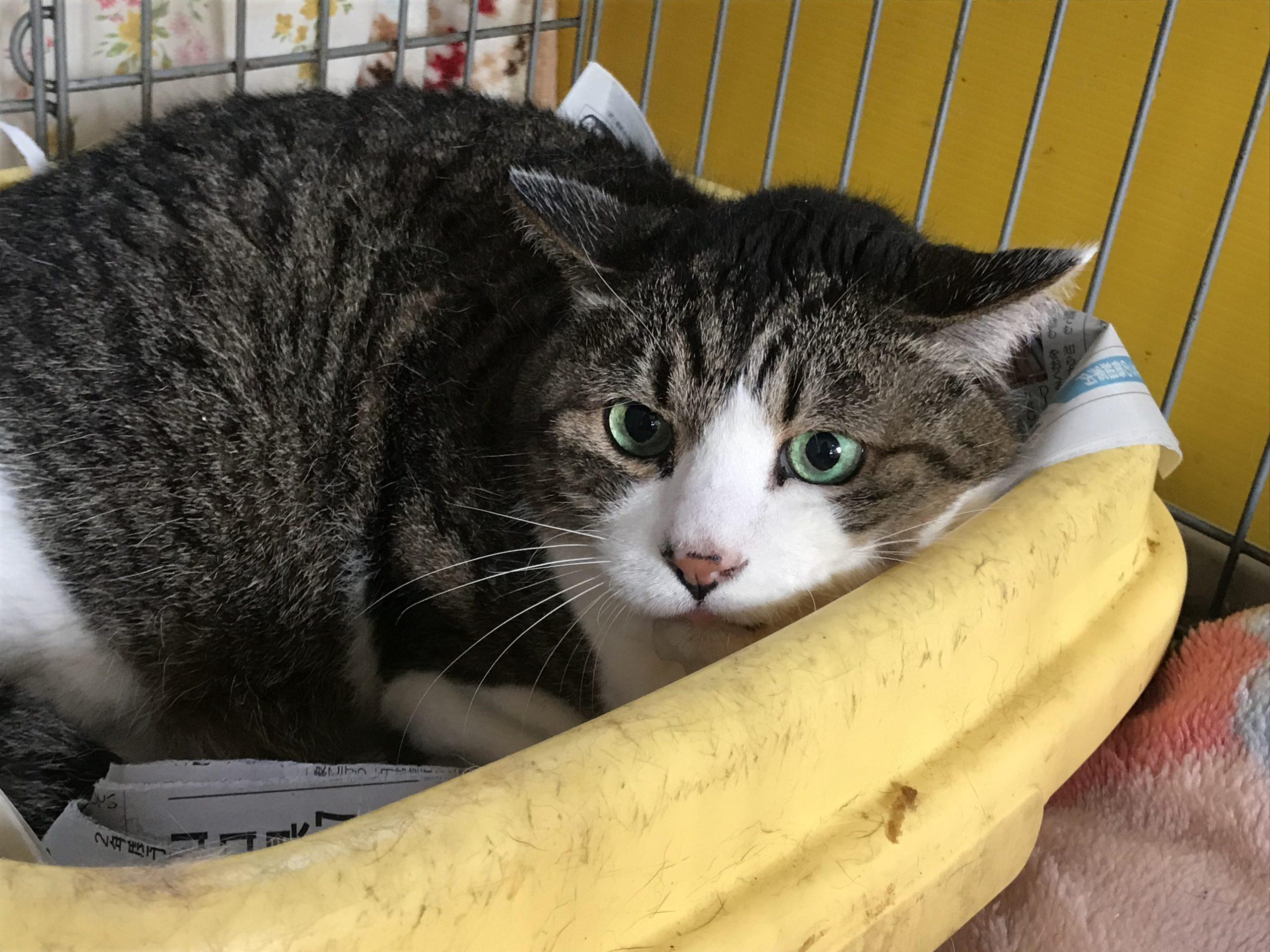 <p></p> <ul> <li>猫種:日本猫 キジ白</li> <li>性別:男の子</li> <li>名前:トト</li> <li>年齢:2007年10月</li> <li>保護経緯:飼い主様が施設に入居のため飼育困難になりました</li> </ul>