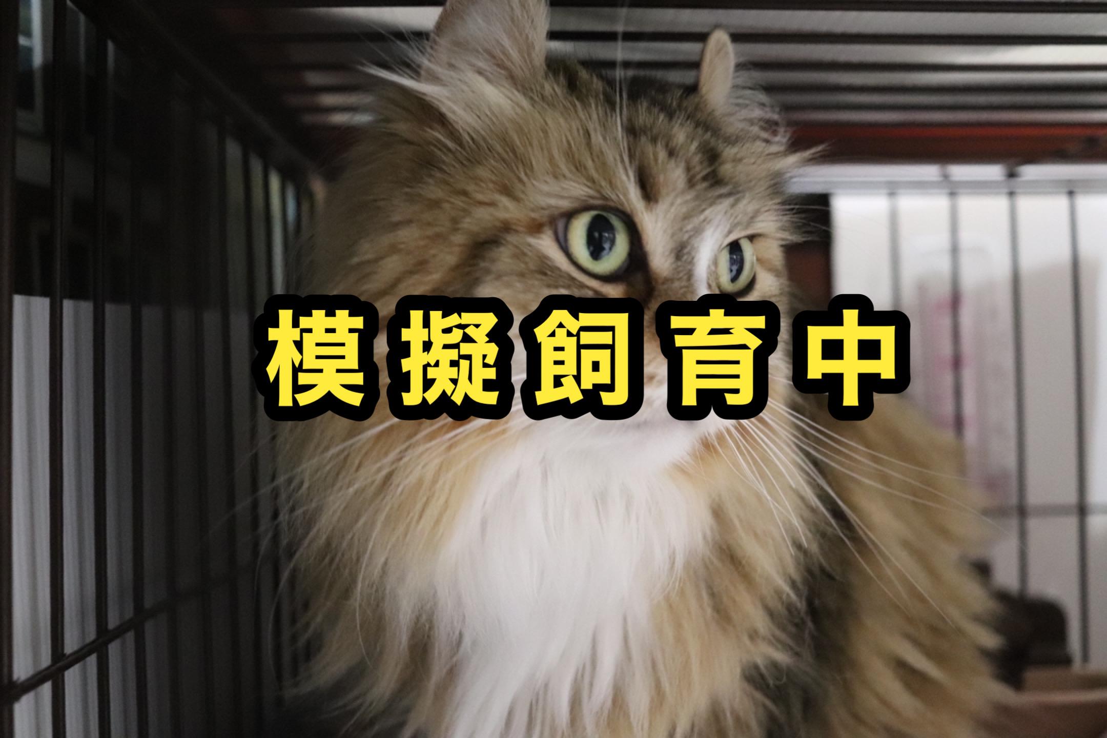 <ul> <li>猫種:アメリカンカール</li> <li>性別:女の子</li> <li>名前:びく</li> <li>年齢:2010年9月生まれ</li> <li>保護経緯:離婚のため飼育困難</li> </ul>