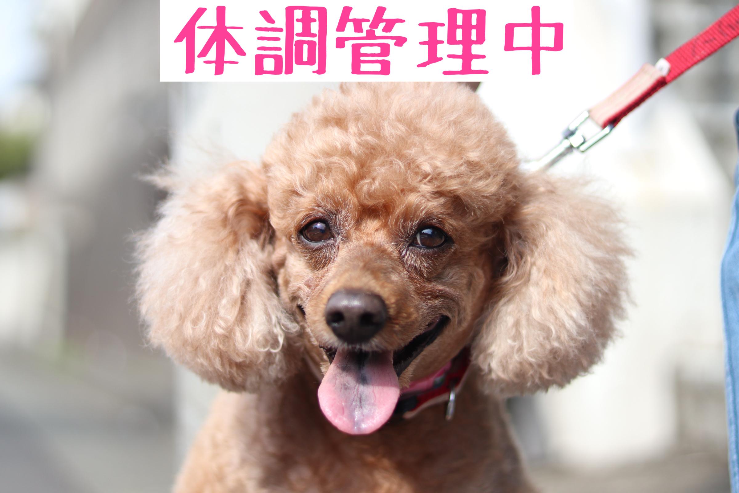 <ul> <li>犬種:トイプードル</li> <li>性別:女の子</li> <li>名前:プリン</li> <li>年齢:2013年2月10日生まれ</li> <li>保護経緯:家庭内の問題により、犬の世話に手がまわらなくなり飼育困難</li> </ul>