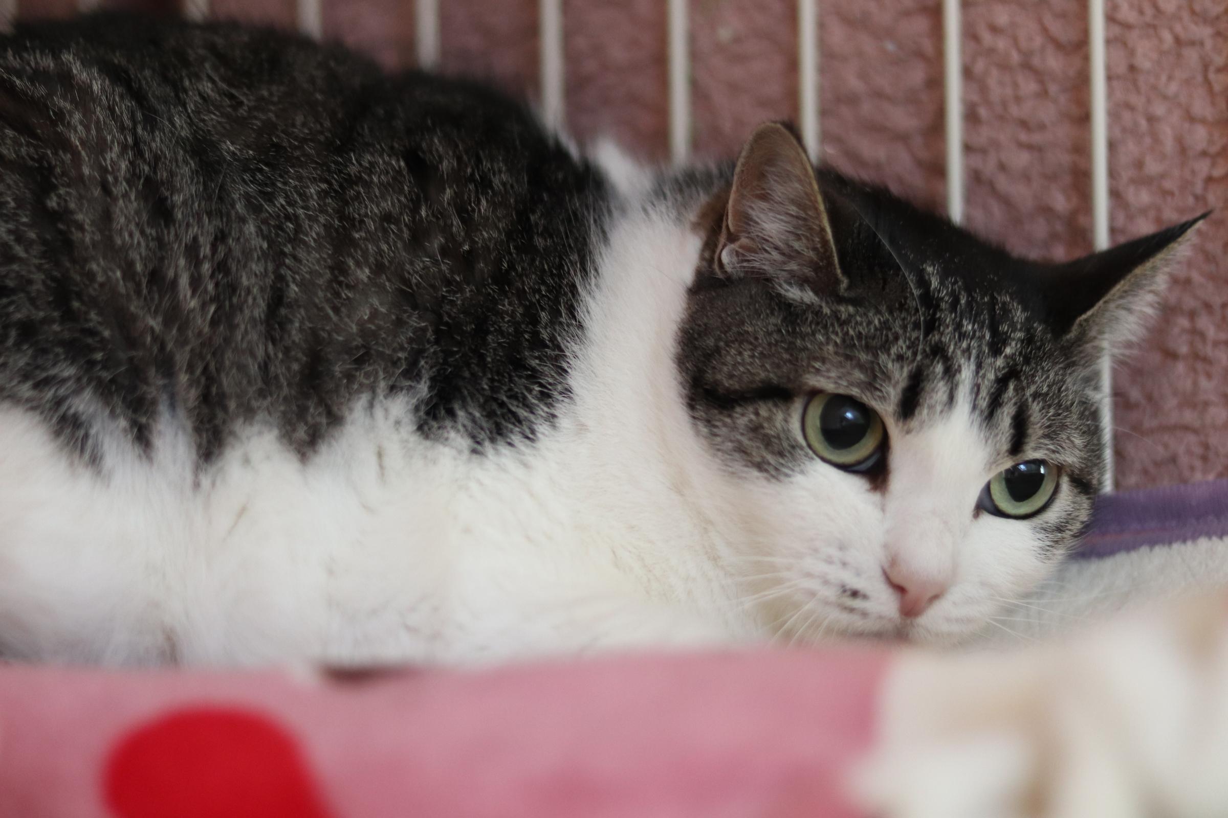 <ul> <li>猫種:日本猫</li> <li>名前(性別):ジル(女の子)</li> <li>年齢:2016年頃生まれ</li> <li>保護経緯:高齢の飼い主が施設へ入居することになり、親族も飼うことが出来ないため飼育困難</li> </ul>