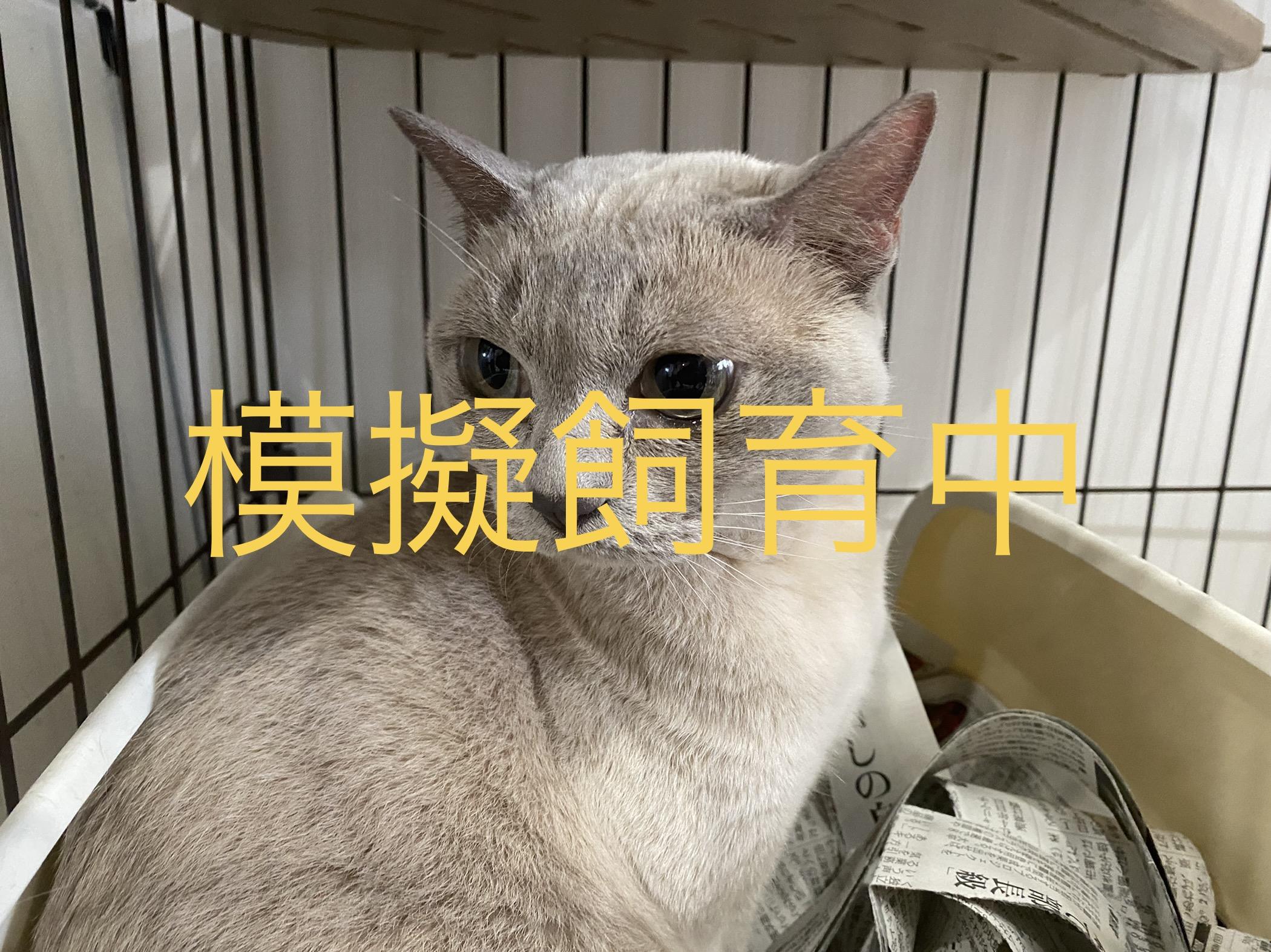 <ul> <li>猫種:トンキニーズ</li> <li>性別:女の子</li> <li>名前:ピピ</li> <li>年齢:2012年9月14日頃生まれ</li> <li>保護経緯:家族のアレルギーのため飼育困難</li> </ul>