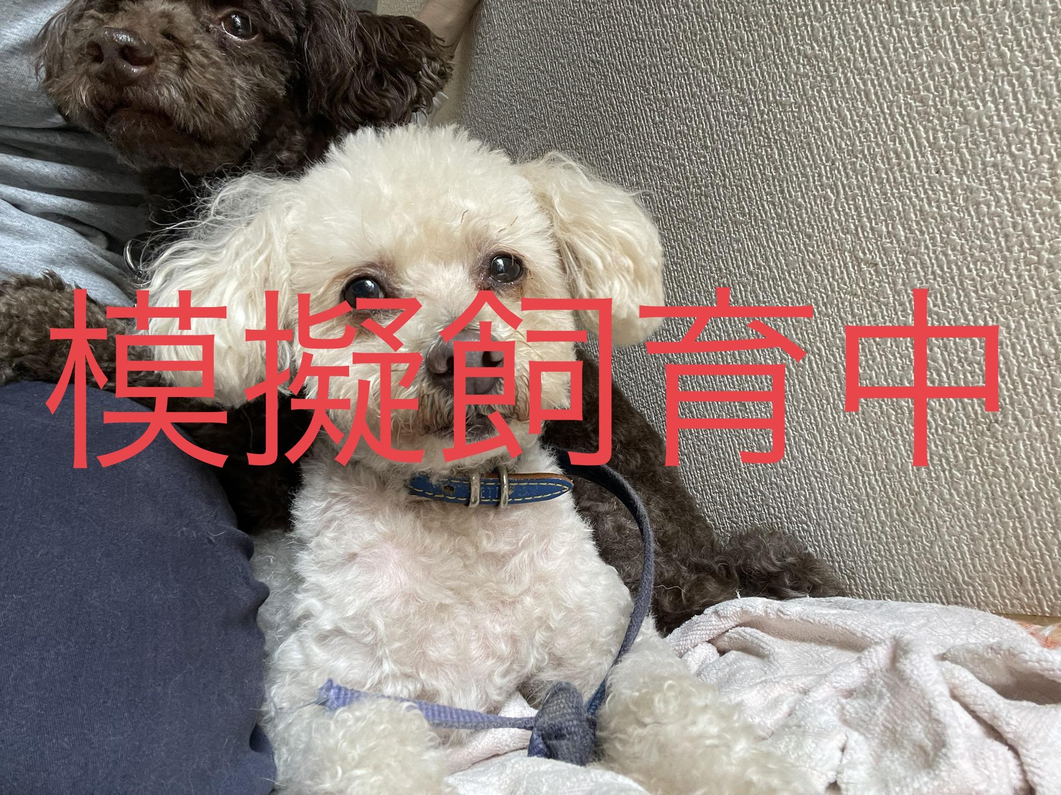 <ul> <li>犬種:プードル</li> <li>性別:男の子</li> <li>名前:しおん</li> <li>年齢:推定年齢9~10歳</li> <li>保護経緯:飼い主様が亡くなられたため飼育困難になり引き取りました</li> </ul>