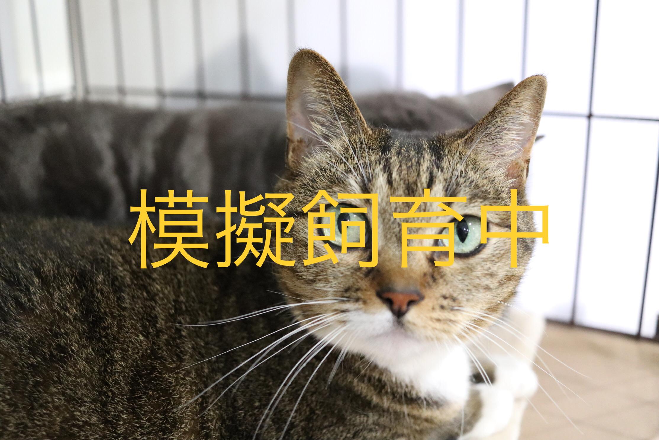<ul> <li>猫種:日本猫</li> <li>性別:女の子</li> <li>名前:キジトラ</li> <li>年齢:2011〜2012年頃生まれ</li> <li>保護経緯:家族に猫アレルギー発症、そして飼い主の出産を控え飼育困難</li> </ul>