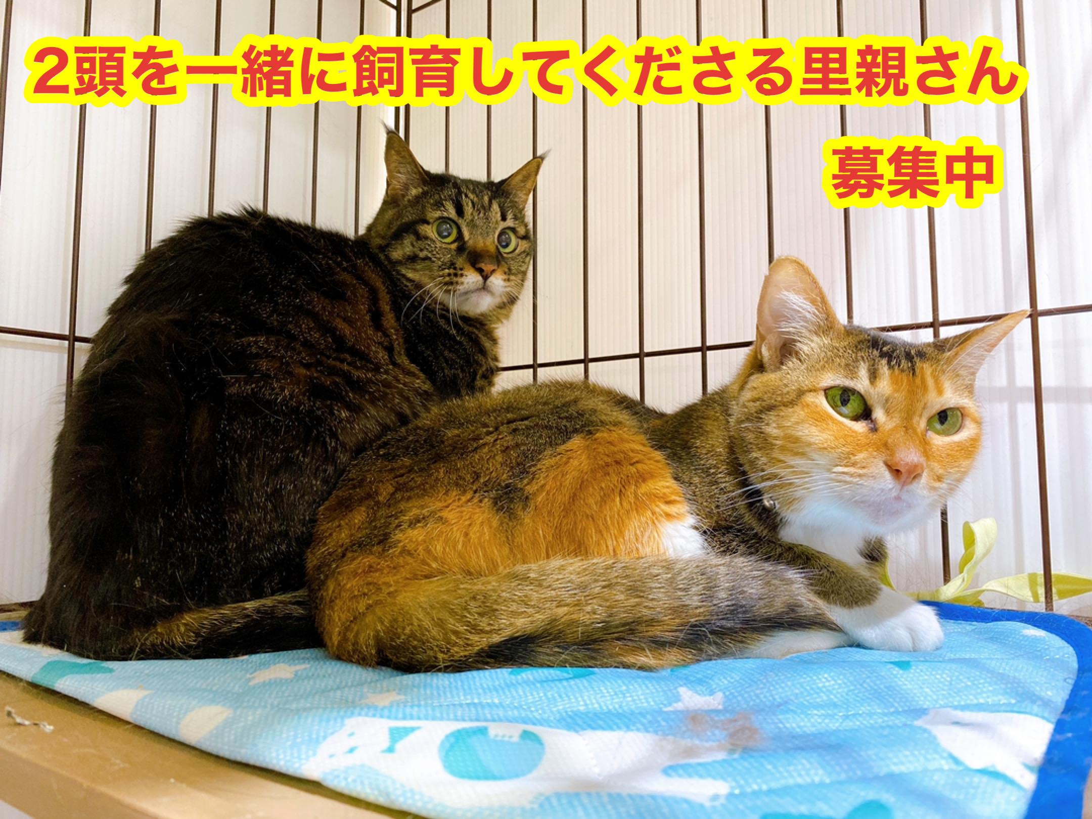 <ul> <li>猫種:日本猫</li> <li>性別:どちらも女の子</li> <li>名前:キジトラ(キジトラ)チョコ(三毛)</li> <li>年齢:2010〜2011年頃(キジトラ)2009~2010年頃(チョコ)生まれ</li> <li>保護経緯:飼い主が高齢になり病気療養のため飼育困難</li> <li>2頭同時に飼育してくださる里親さんを募集中</li> </ul>