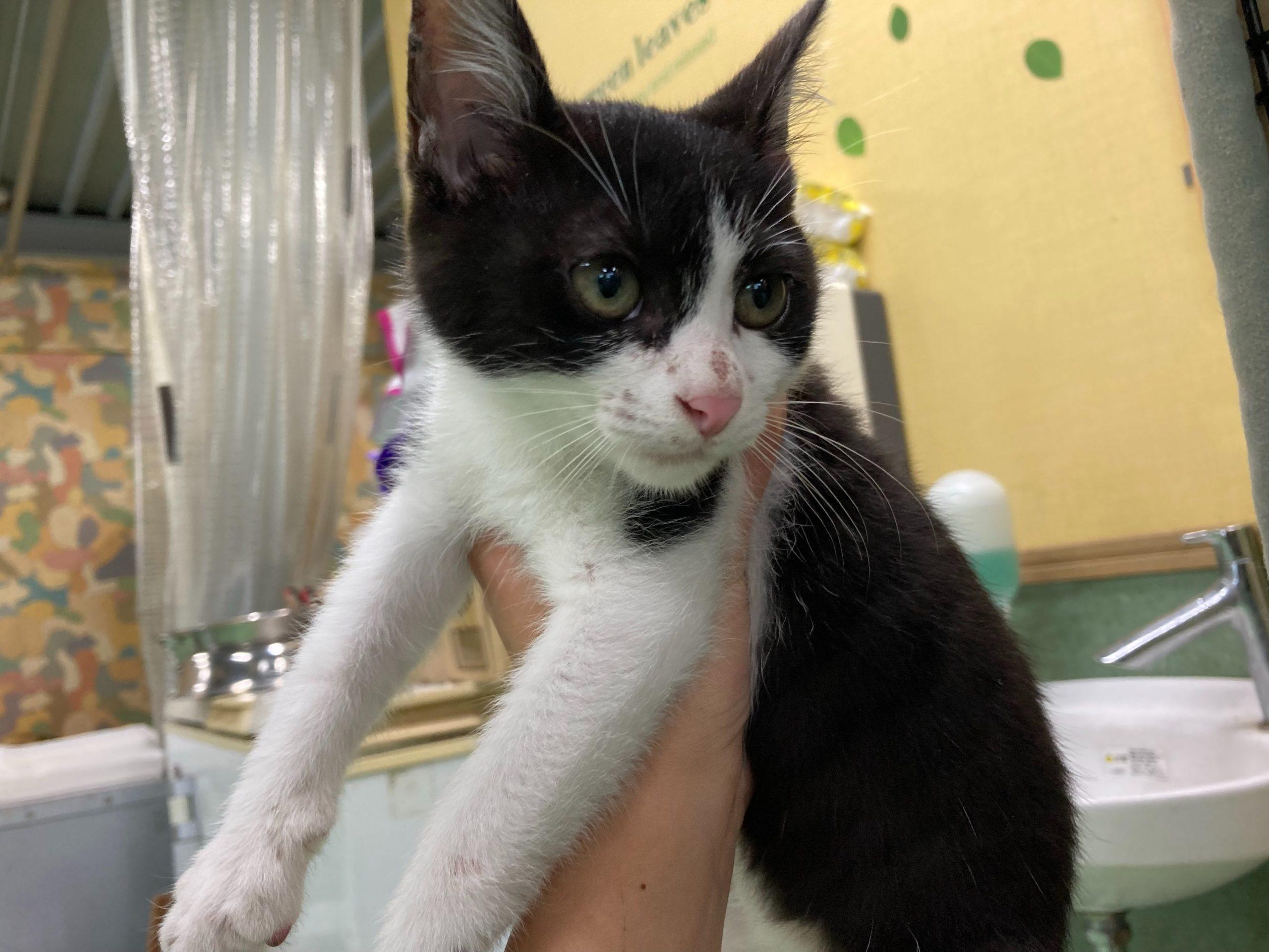 <ul> <li>猫種:日本猫 黒白</li> <li>性別:男の子</li> <li>年齢:2021年4月初日</li> <li>保護経緯:自宅で野良猫が子猫を産んだため譲渡センターにて里親を探して欲しいとの事で保護しました。</li> </ul>