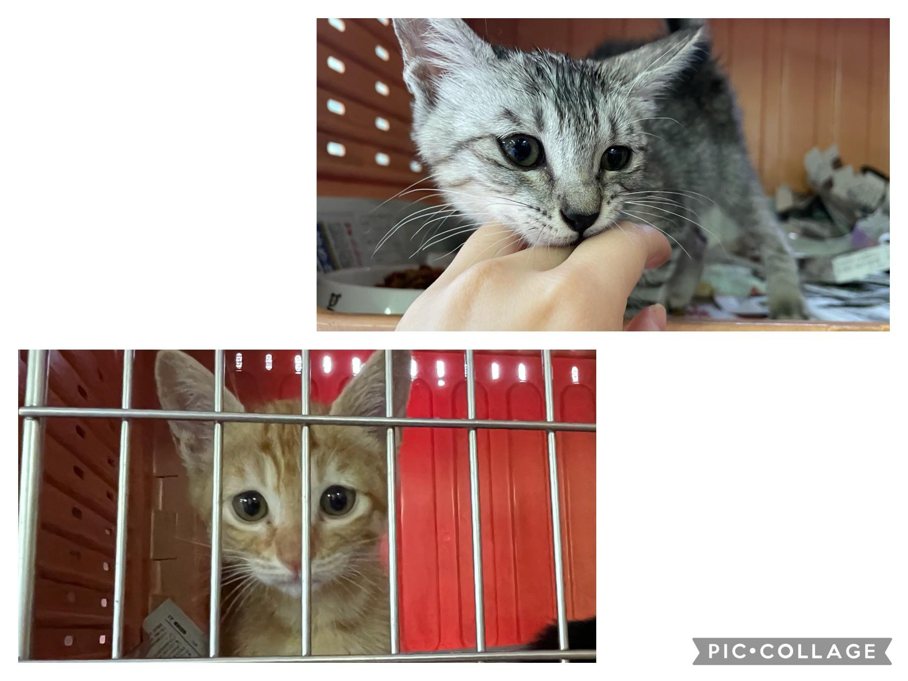 <p></p> <ul> <li>猫種:日本猫</li> <li>性別:男の子1匹 女の子1匹</li> <li>年齢:2021年4月中旬頃生まれ</li> <li>保護経緯:譲渡センターで里親を探して欲しいとの事で保護しました。</li> </ul>