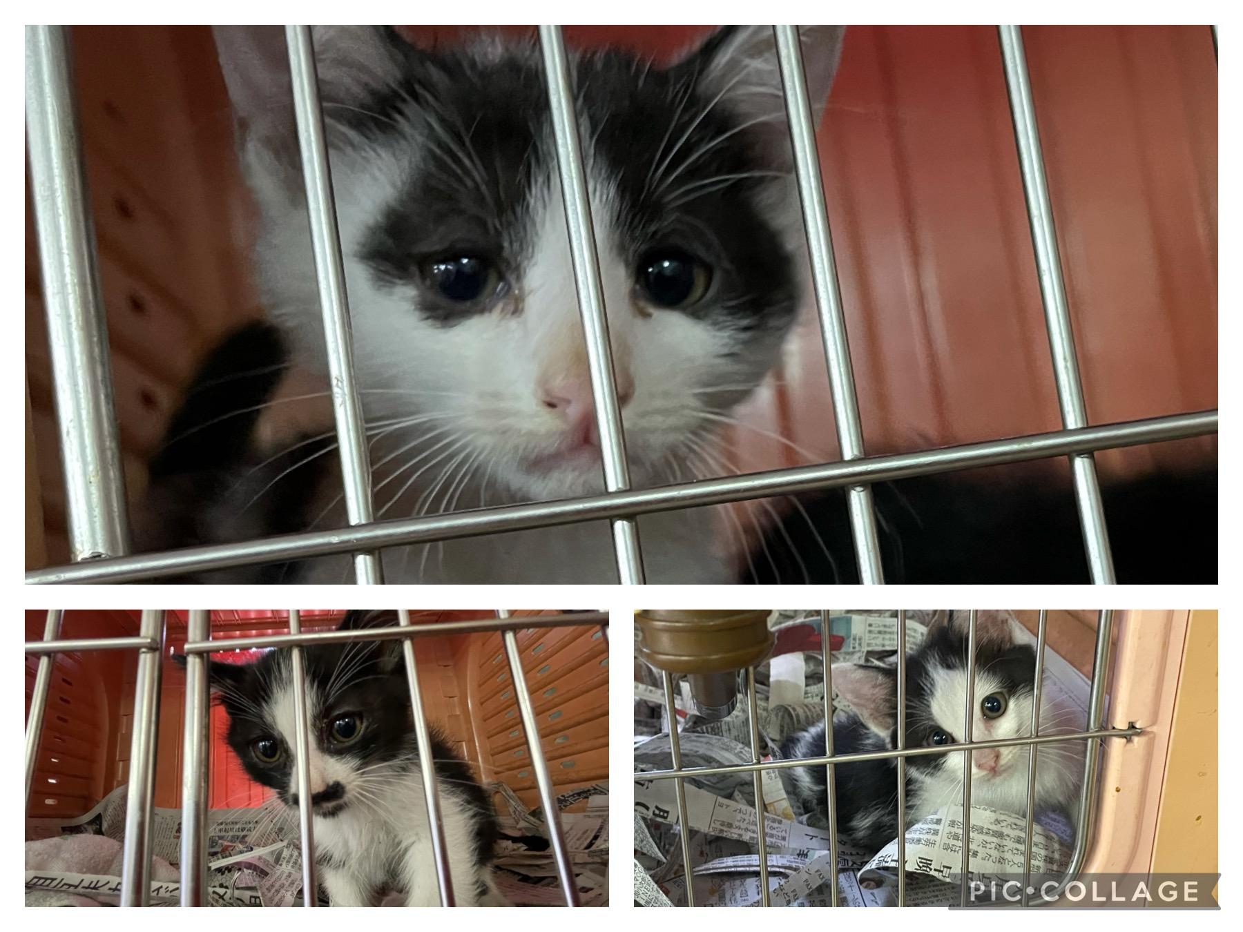 <p></p> <ul> <li>猫種:日本猫</li> <li>性別:男の子2匹 女の子1匹</li> <li>年齢:2021年4月初旬頃生まれ</li> <li>保護経緯:譲渡センターで里親を探して欲しいとの事で保護しました。</li> </ul>