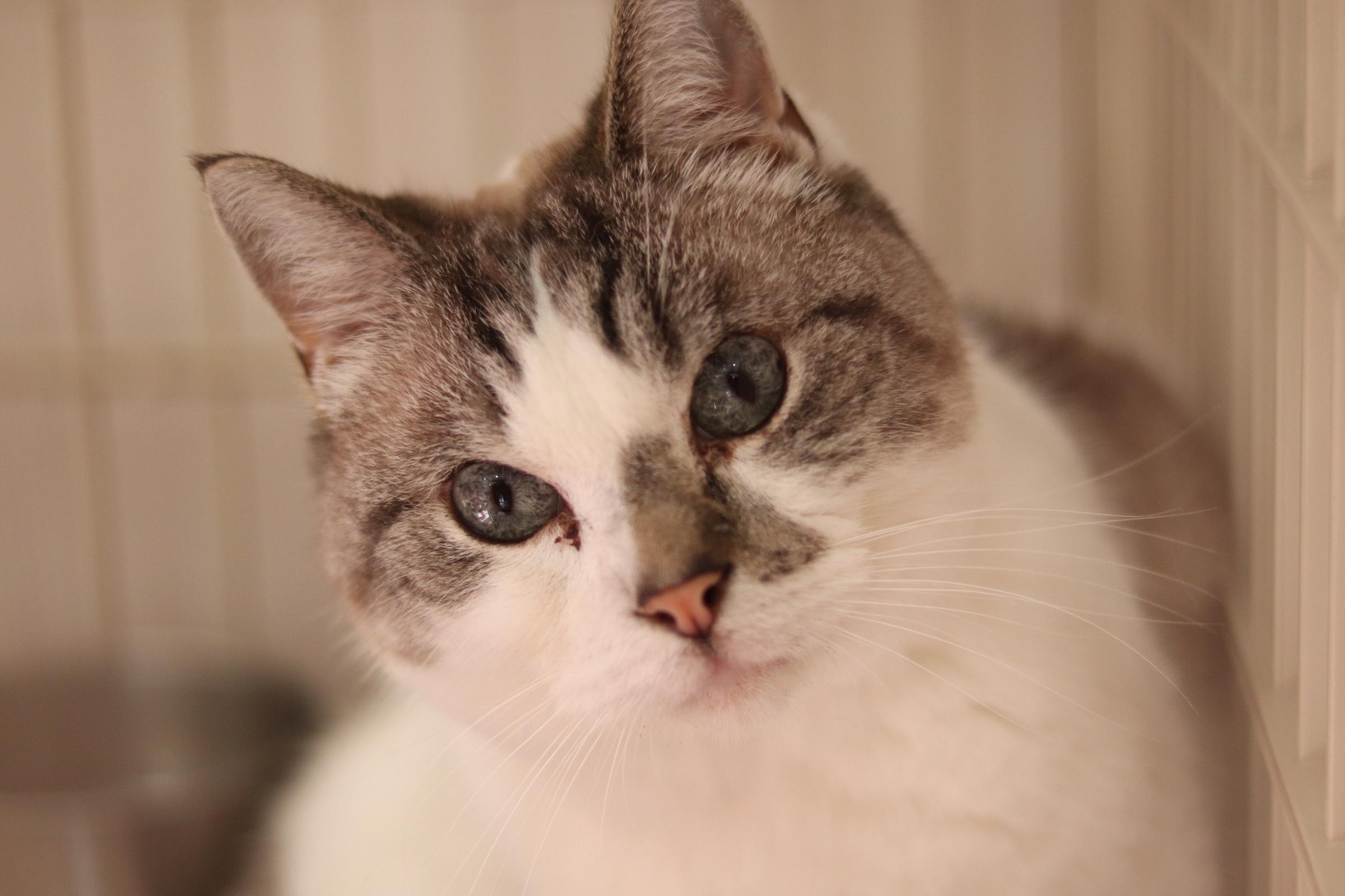 <ul> <li>猫種:マンチカン</li> <li>性別:男の子</li> <li>名前:しろ</li> <li>年齢:2010年6月1日生まれ</li> <li>保護経緯:子どもに猫アレルギー発症し飼育困難</li> </ul>