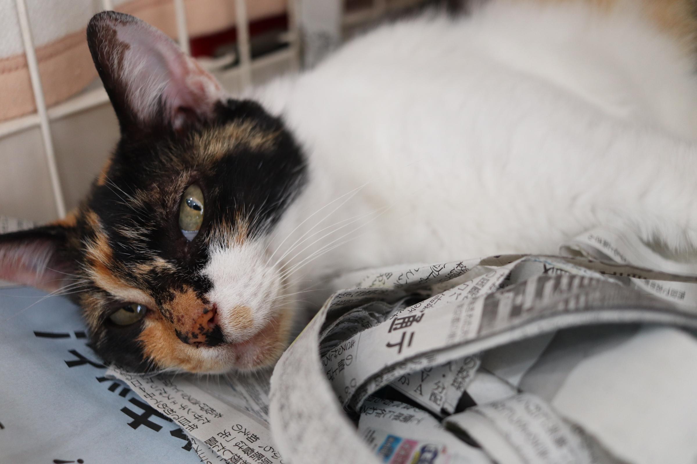 <ul> <li>猫種:日本猫</li> <li>性別:女の子</li> <li>名前:みかん</li> <li>年齢:2014年春頃生まれ</li> <li>保護経緯:同居が始まった家族が猫アレルギーのため飼育困難</li> </ul>