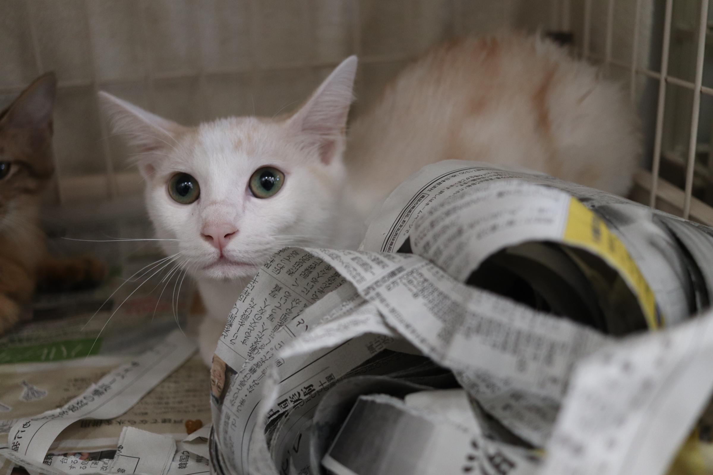 <ul> <li>猫種:日本猫</li> <li>性別:男の子</li> <li>名前:白</li> <li>年齢:2021年1月21日生まれ</li> <li>保護経緯:飼い主が高齢になり認知症のため飼育困難</li> </ul>