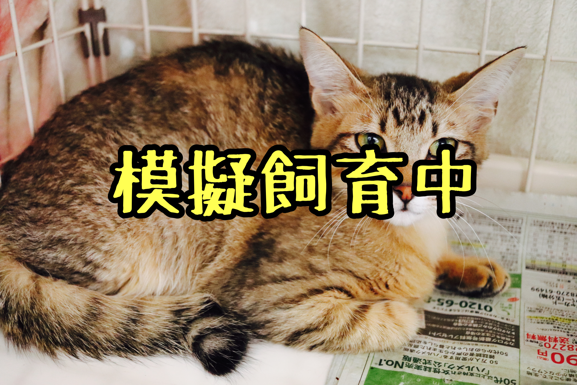 <ul> <li>猫種:日本猫</li> <li>性別:女の子</li> <li>名前:トラミ</li> <li>年齢:2021年1月21日生まれ</li> <li>保護経緯:飼い主が高齢になり認知症のため飼育困難</li> </ul>