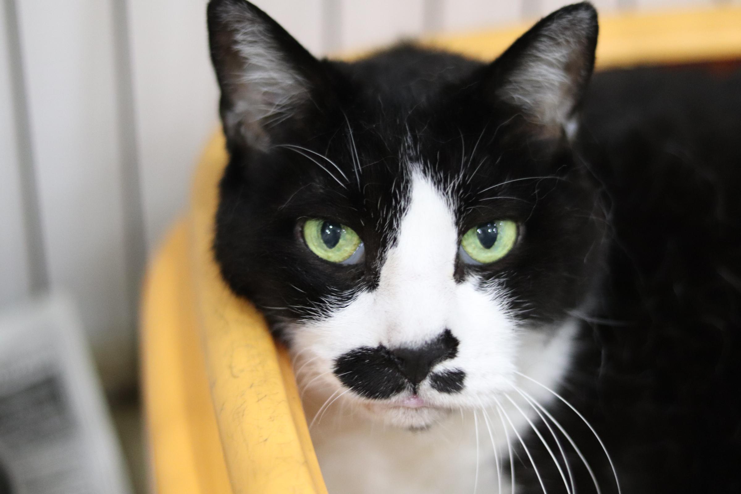 <ul> <li>猫種:日本猫</li> <li>性別:男の子</li> <li>名前:きよし</li> <li>年齢:2006年7月27日生まれ</li> <li>保護経緯:離婚のため飼育困難</li> </ul>