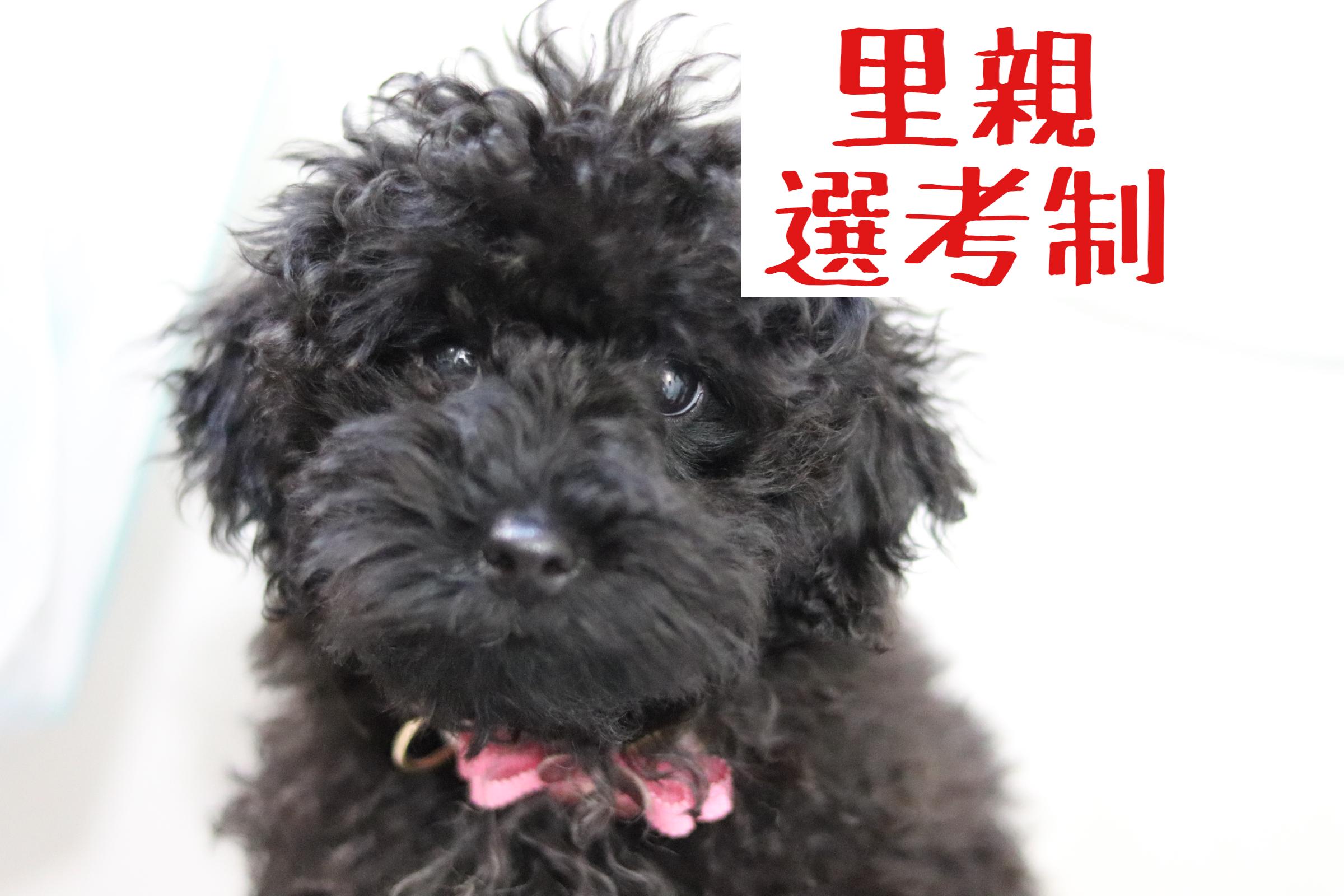 <ul> <li>犬種:トイプードル</li> <li>性別:女の子</li> <li>名前:エマ</li> <li>年齢:2021年3月26日生まれ</li> <li>保護経緯:早朝又はゲージに入れると吠える、トイレをあちこちに外すため飼育困難</li> </ul>